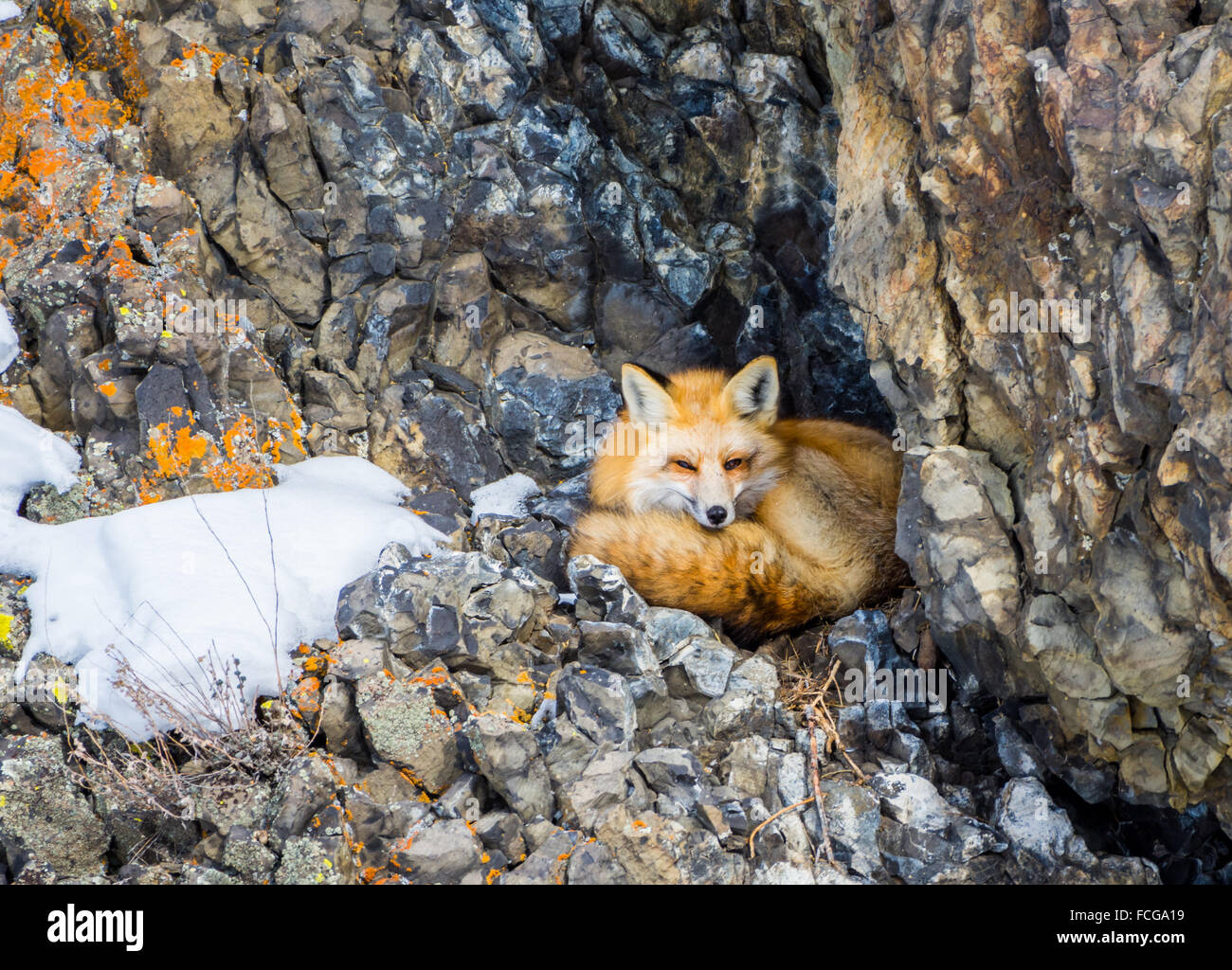 A red fox (Vulpes vulpes) is ready to take a nap in his den between rocks. Yellowstone National Park, Wyoming, USA. - Stock Image