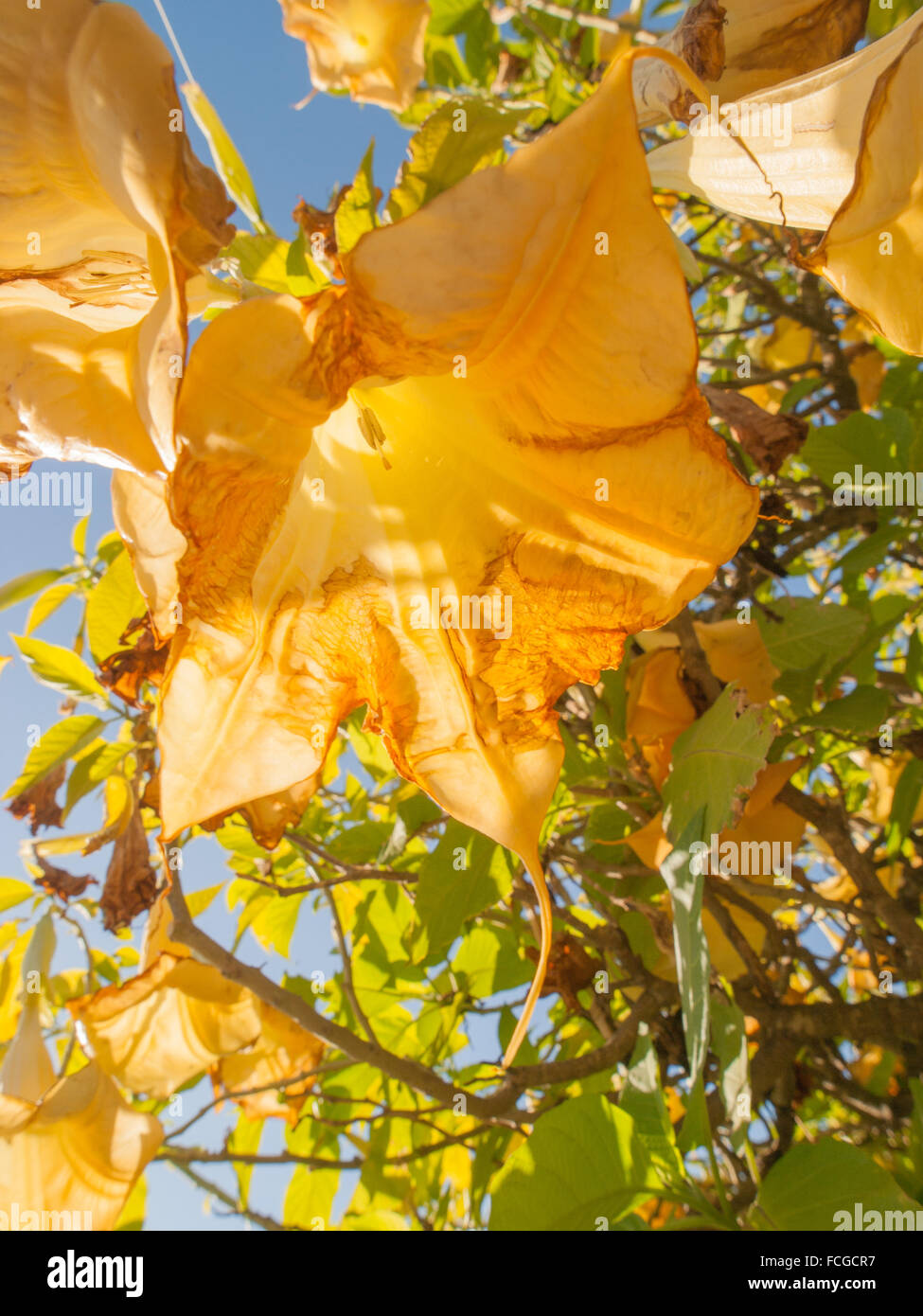 Yellow and brown decaying angels trumpet flower hanging from tree yellow and brown decaying angels trumpet flower hanging from tree against blue sky with sunlight coming through petals mightylinksfo
