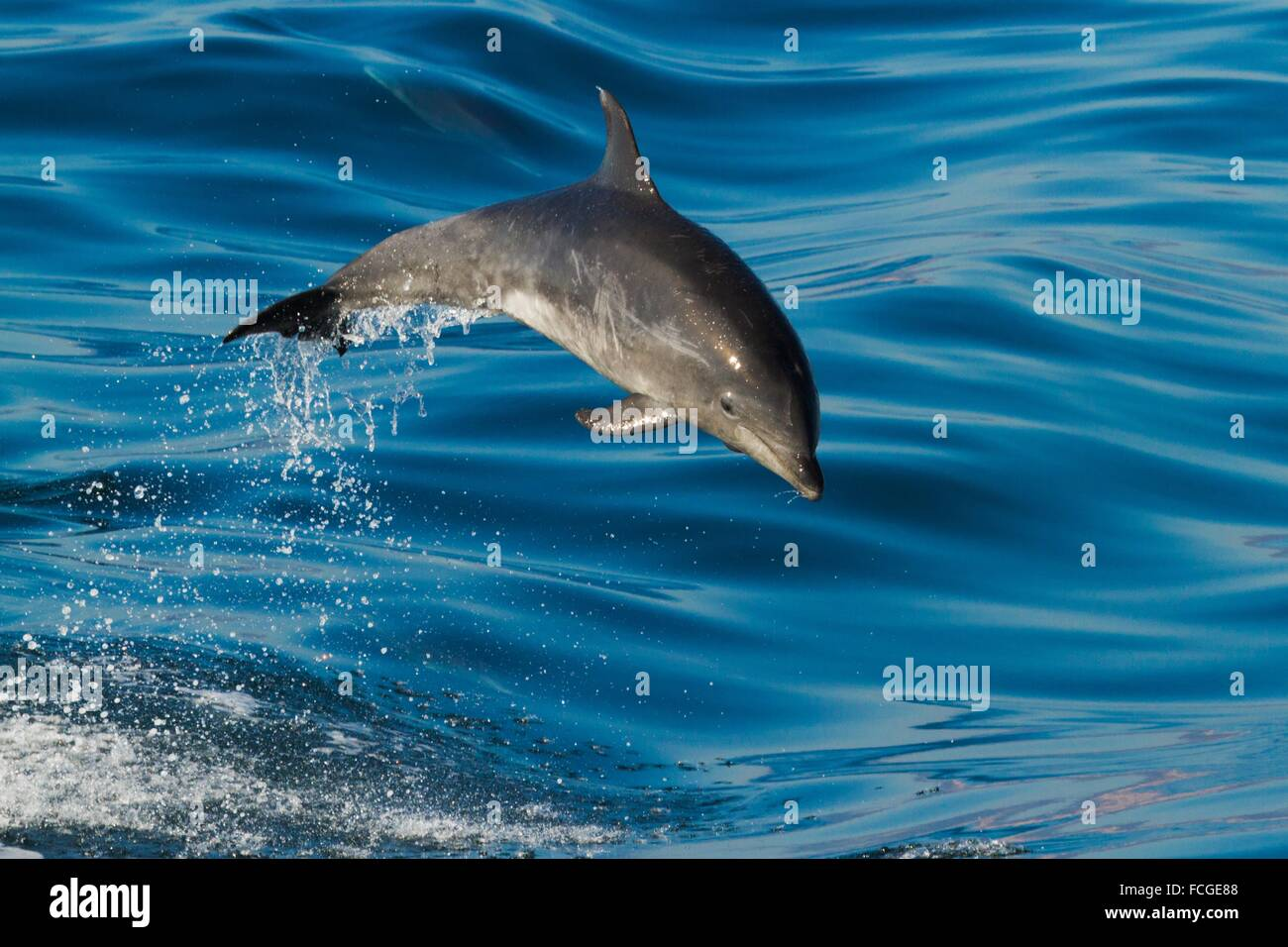 Young Offshore Bottlenose Dolphin porpoising in the Pacific Ocean, California, USA - Stock Image