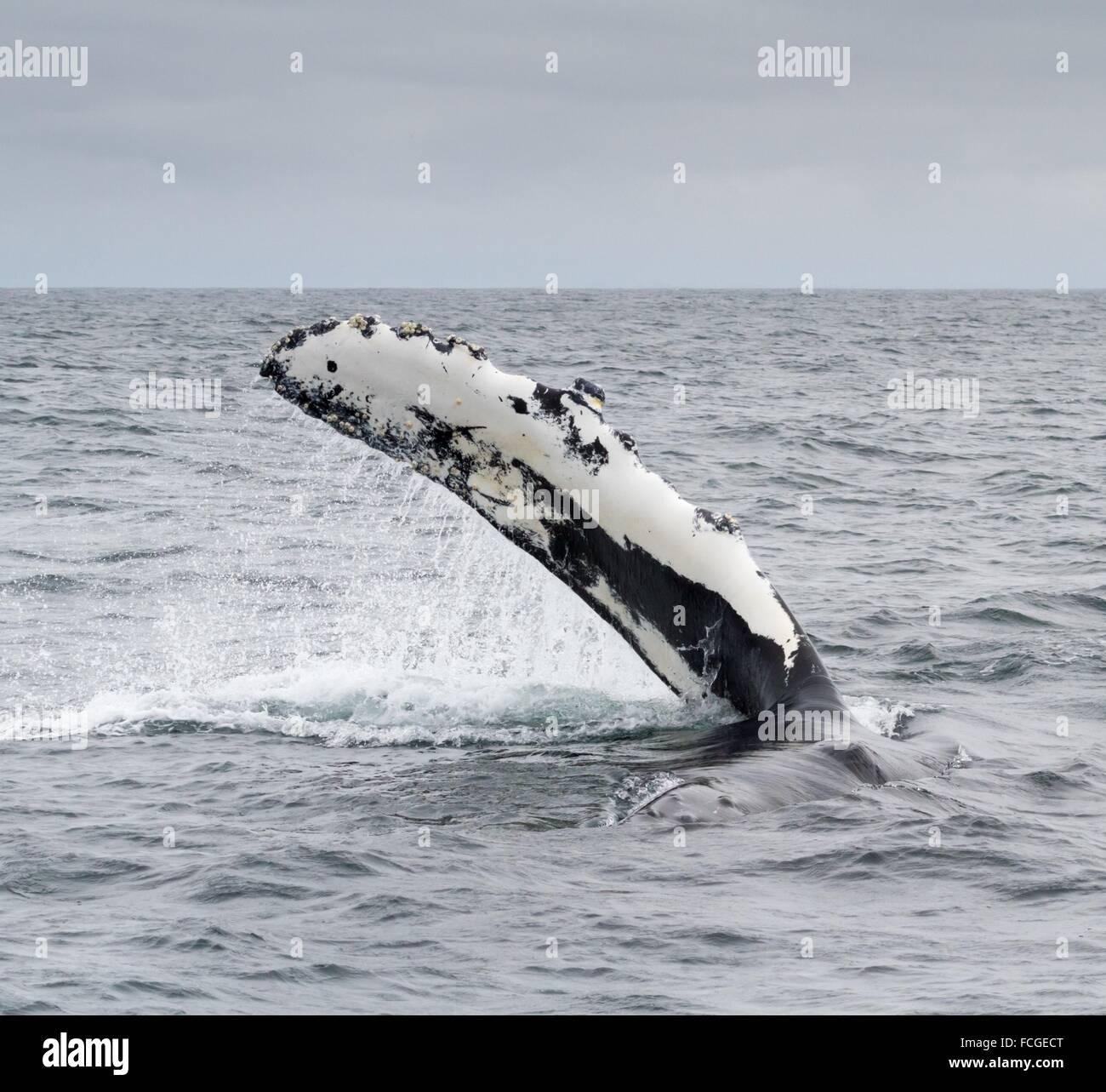 A Humpback Whale pectoral fin in Monterey Bay, Monterey, California, USA - Stock Image