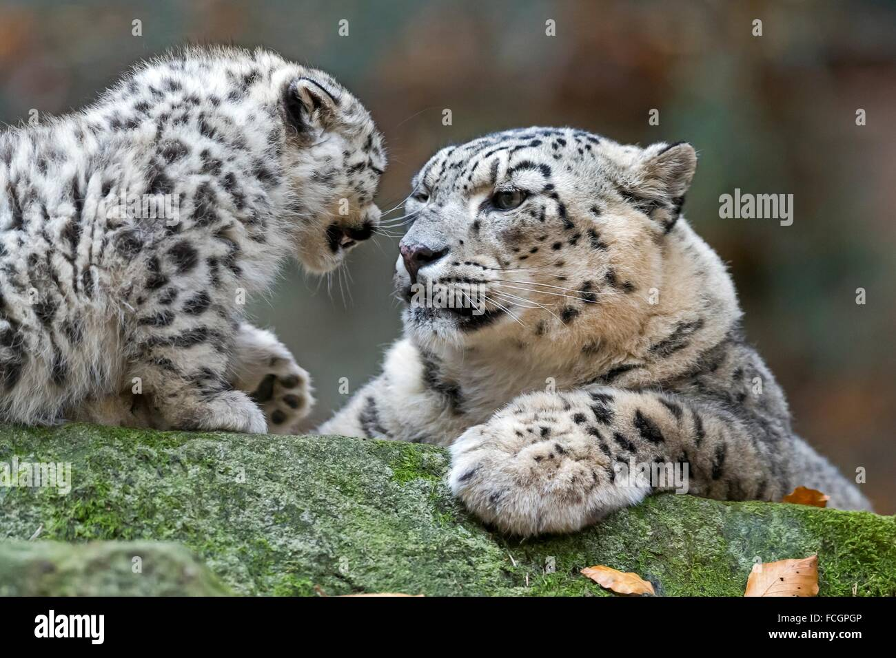 Snow Leopard, (Uncia uncia), young animals, captive, Germany - Stock Image