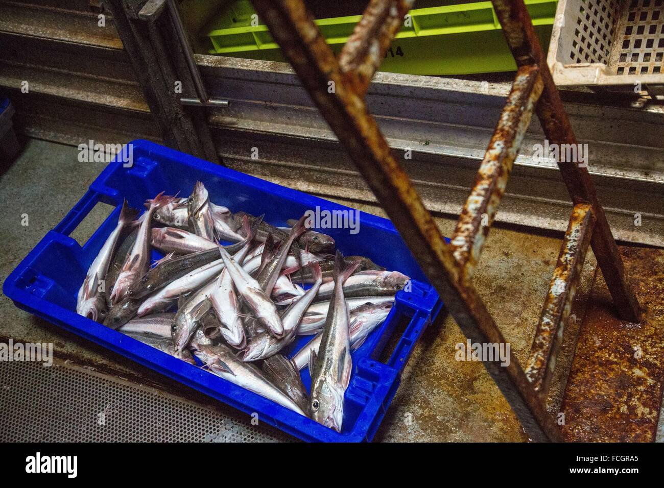 STORAGE OF THE FISH (MULLET) IN THE REFRIGERATORS, SEA FISHING ON THE SHRIMP TRAWLER 'QUENTIN-GREGOIRE' - Stock Image