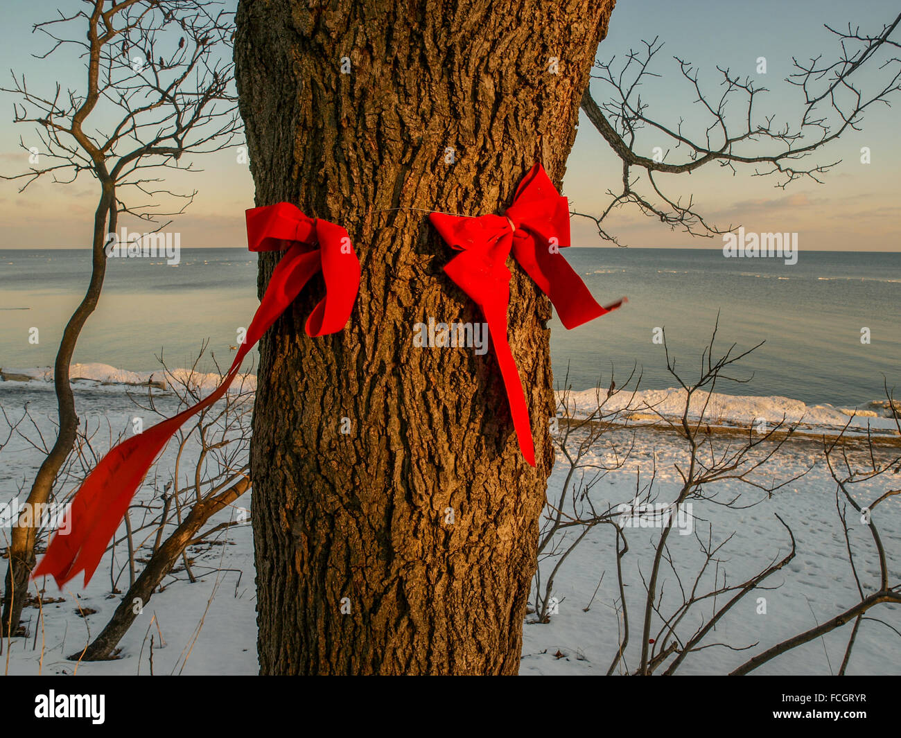 Two red bows attached to tree trunk with tails blowing in the wind at sunset in the winter snow in Oakville, Ontario, - Stock Image