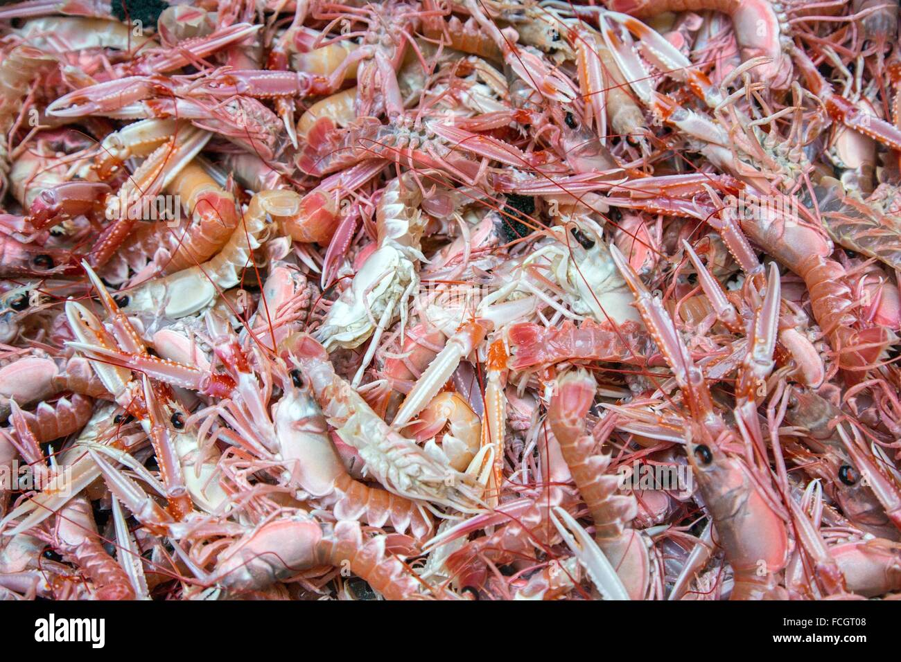 FRESHLY CAUGHT LIVE PRAWNS, SEA FISHING ON THE SHRIMP TRAWLER 'QUENTIN-GREGOIRE' OFF THE COAST OF SABLES - Stock Image