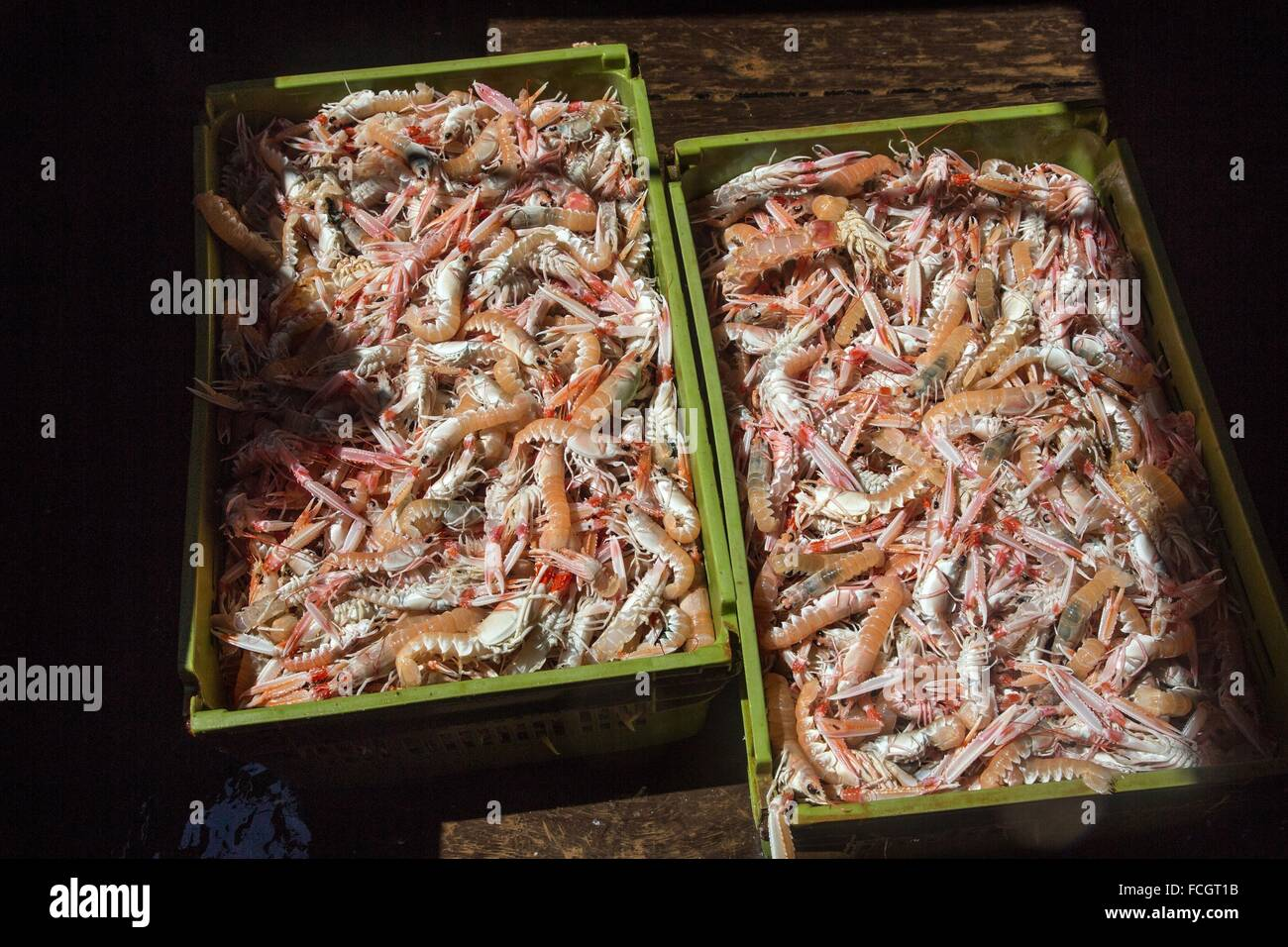 CRATES OF FRESHLY CAUGHT LIVE PRAWNS, SEA FISHING ON THE SHRIMP TRAWLER 'QUENTIN-GREGOIRE' OFF THE COAST - Stock Image