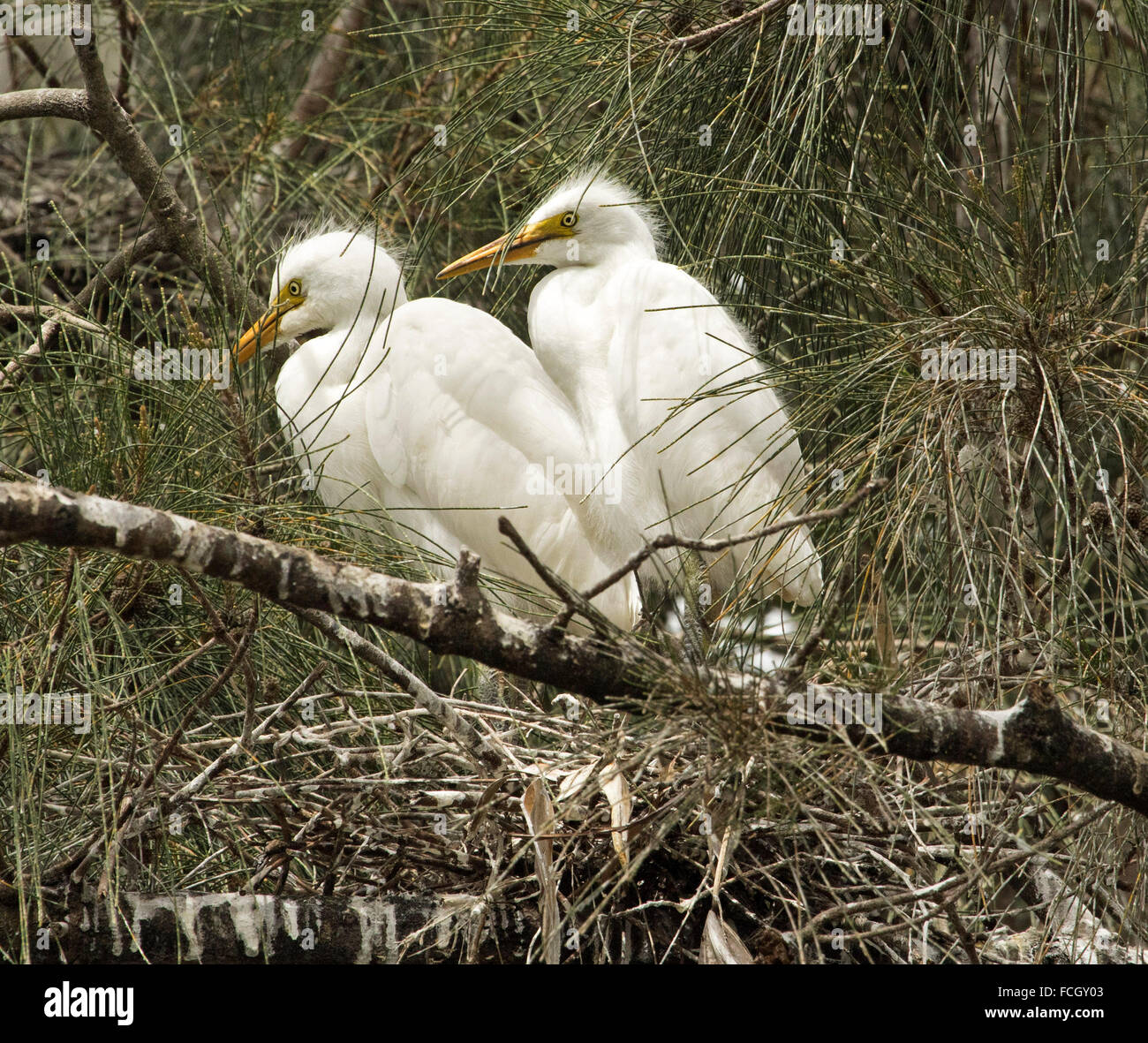 Two plumed / intermediate egret chicks, Ardea intermedia fledglings, on branch of tree with background of foliage Stock Photo