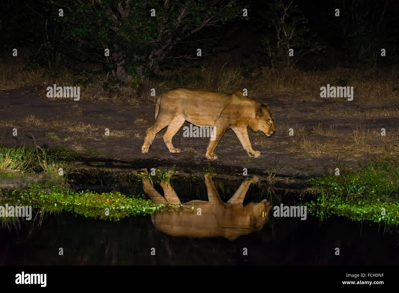 Female lion and her reflection in a pond at night, Linyanti Marshes, Botswana. Stock Photo