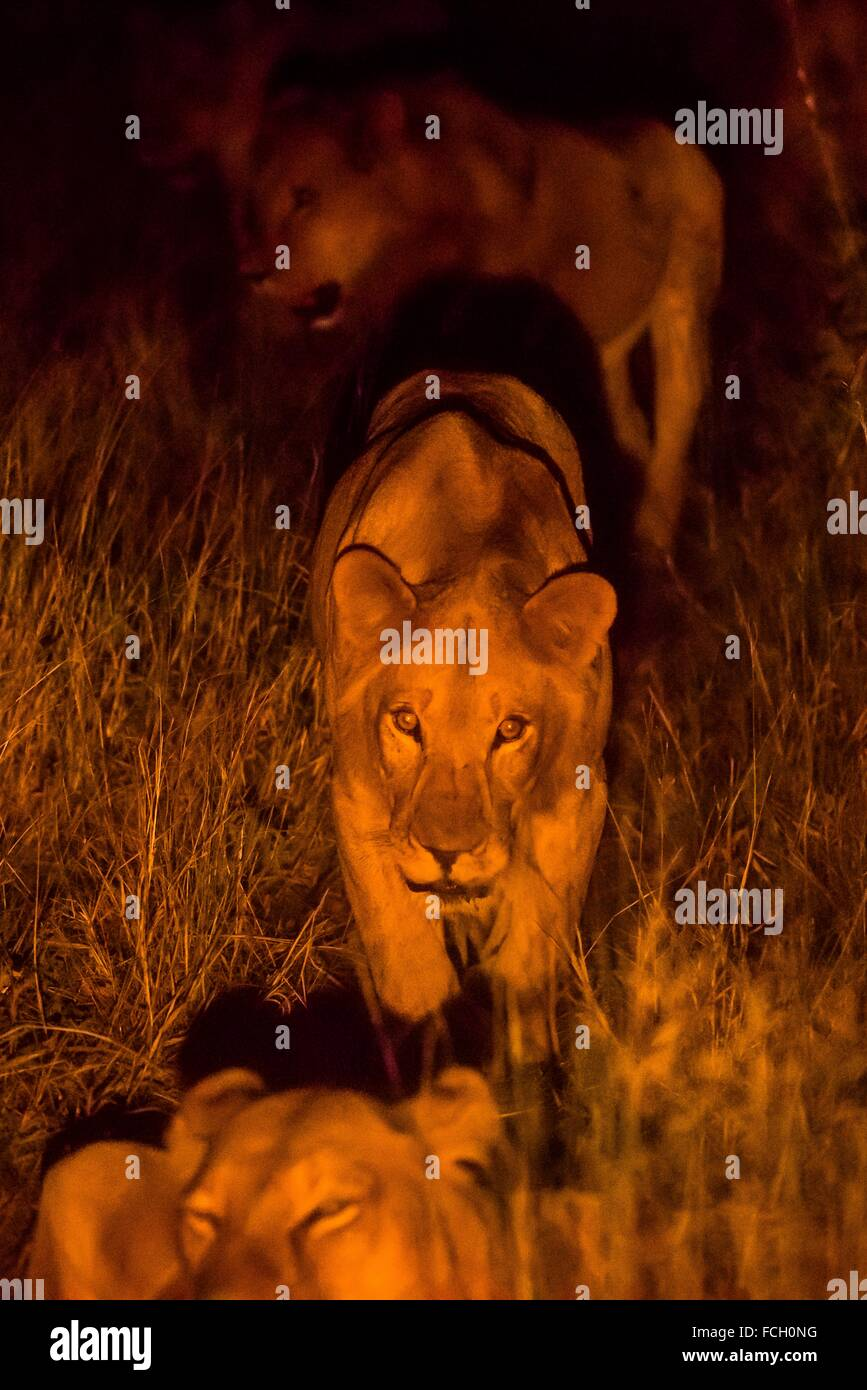 A pride of female lions on the move at night, Kwando Concession, Linyanti, Botswana. Stock Photo