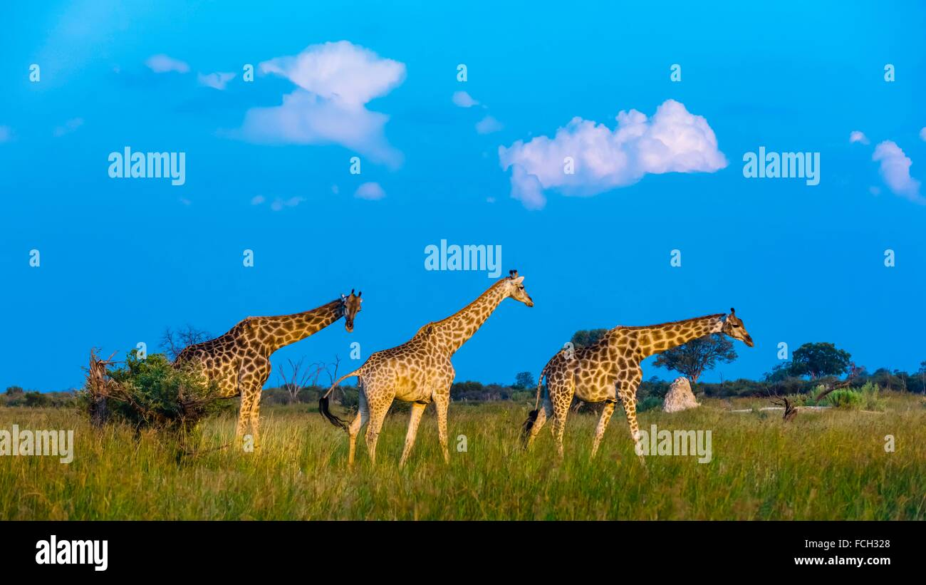 Giraffes on the move, Kwando Concession, Linyanti Marshes, Botswana. Stock Photo