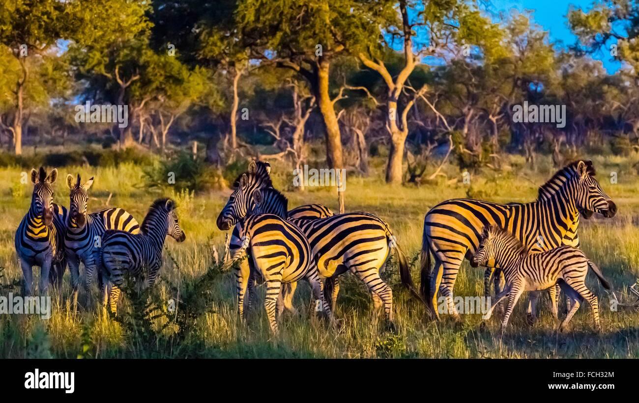 Herd of zebras, Kwando Concession, Linyanti Marshes, Botswana. Stock Photo
