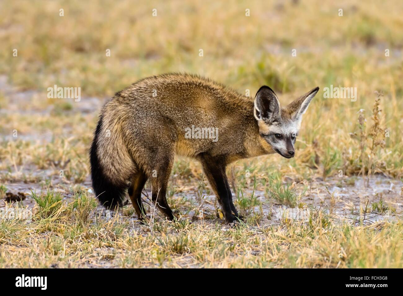 A bat-eared fox, Nxai Pan National Park, Botswana. It large ears are used for thermoregulation, a means of cooling - Stock Image