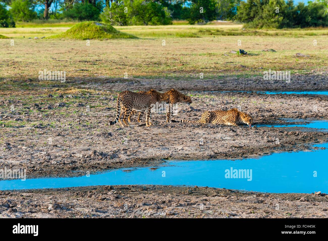 Cheetahs bending down to drink water, near Kwara Camp, Okavango Delta, Botswana. They are extremely apprehensive - Stock Image