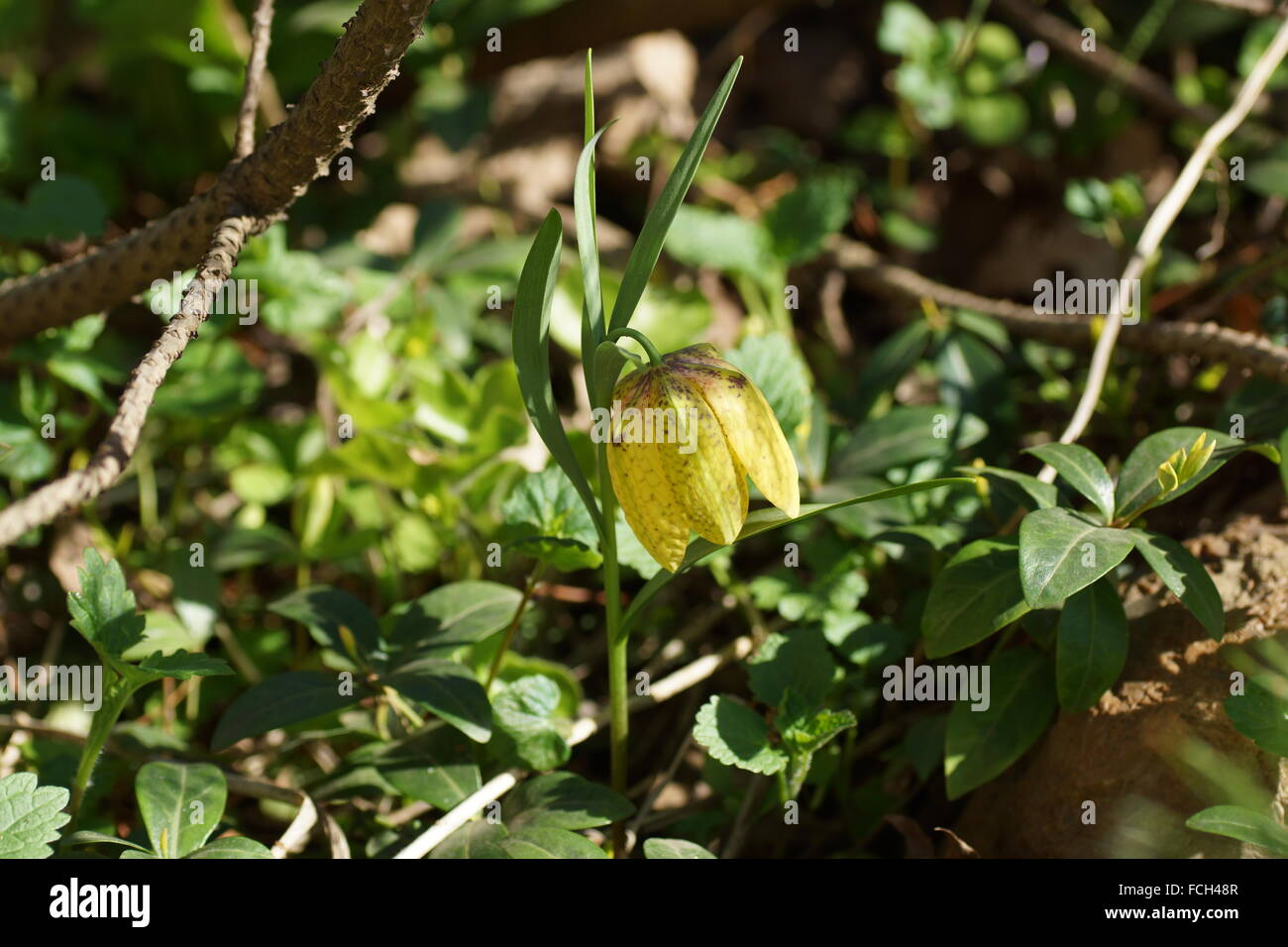 Fritillaria ophioglossifolia, Fritillaria lutea, Fritillaria biebersteiniana, Fritillaria lagodechiana - Stock Image