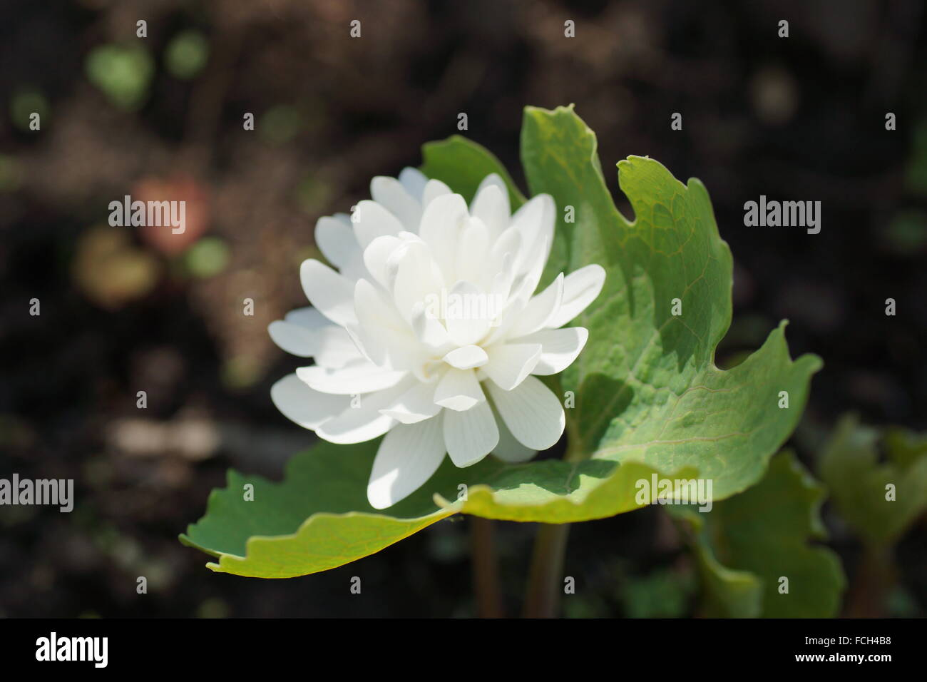 White flower. Sanguinaria canadensis Flore multiplex 'Plena',  bloodwort, redroot, red puccoon, pauson - Stock Image