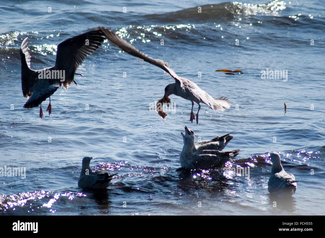 Herring Seagulls ( Larus argentatus) Stock Photo