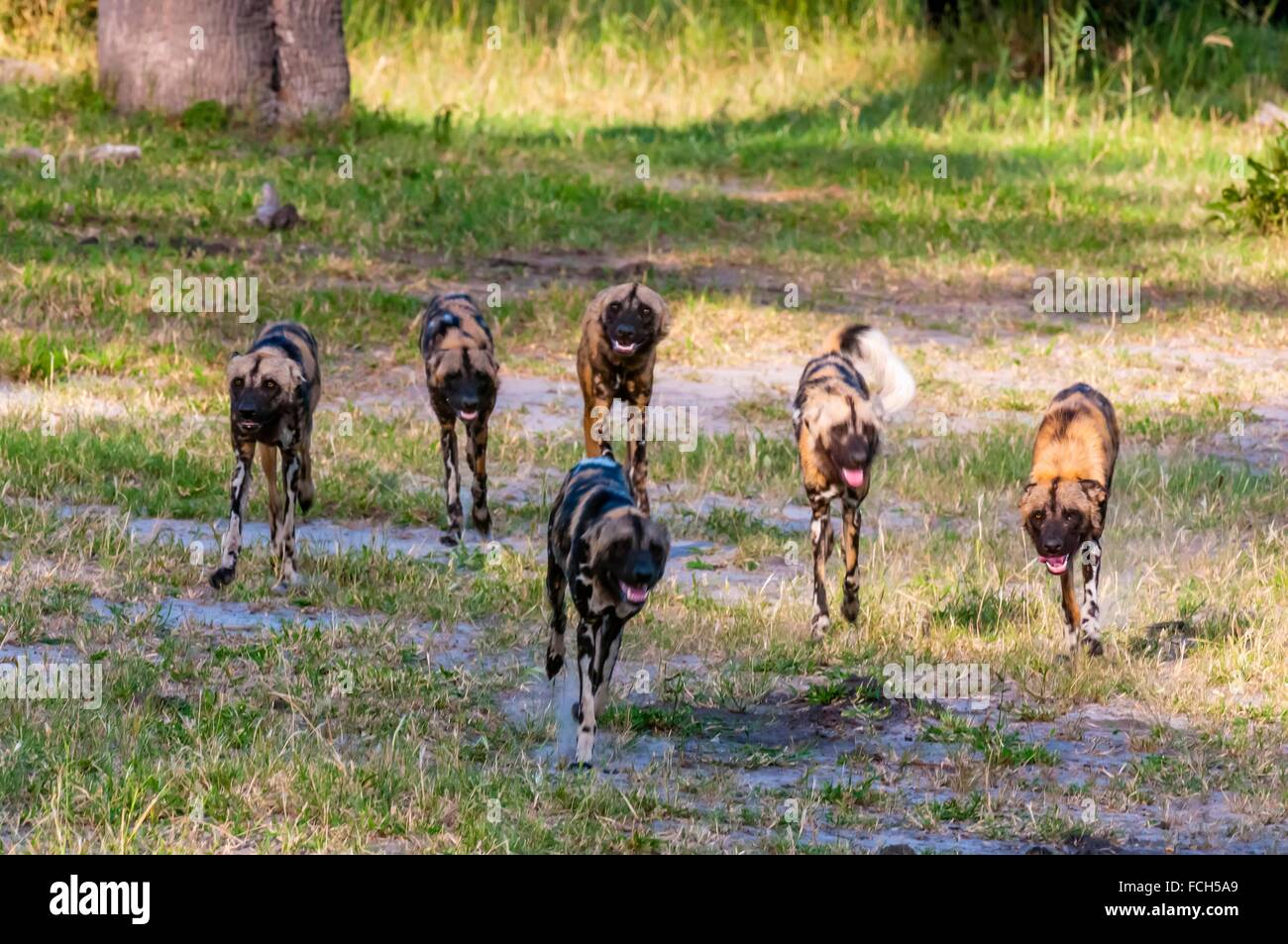 African wild dogs, near Kwando Concession, Linyanti Marshes, Botswana. African wild dogs are extremely endangered. Stock Photo