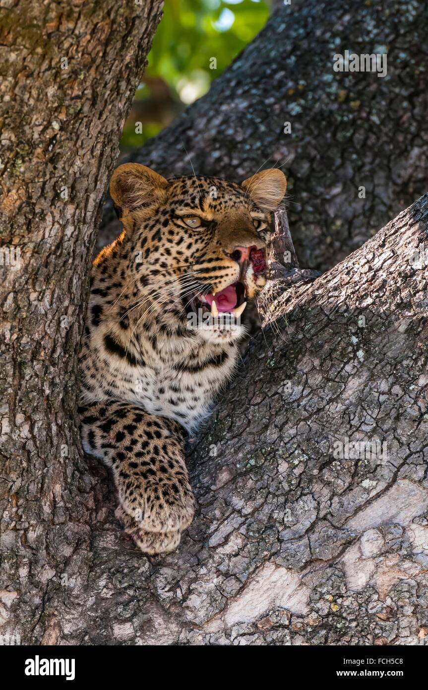 Leopard resting in a tree, Kwando Concession, Linyanti Marshes, Botswana. Stock Photo