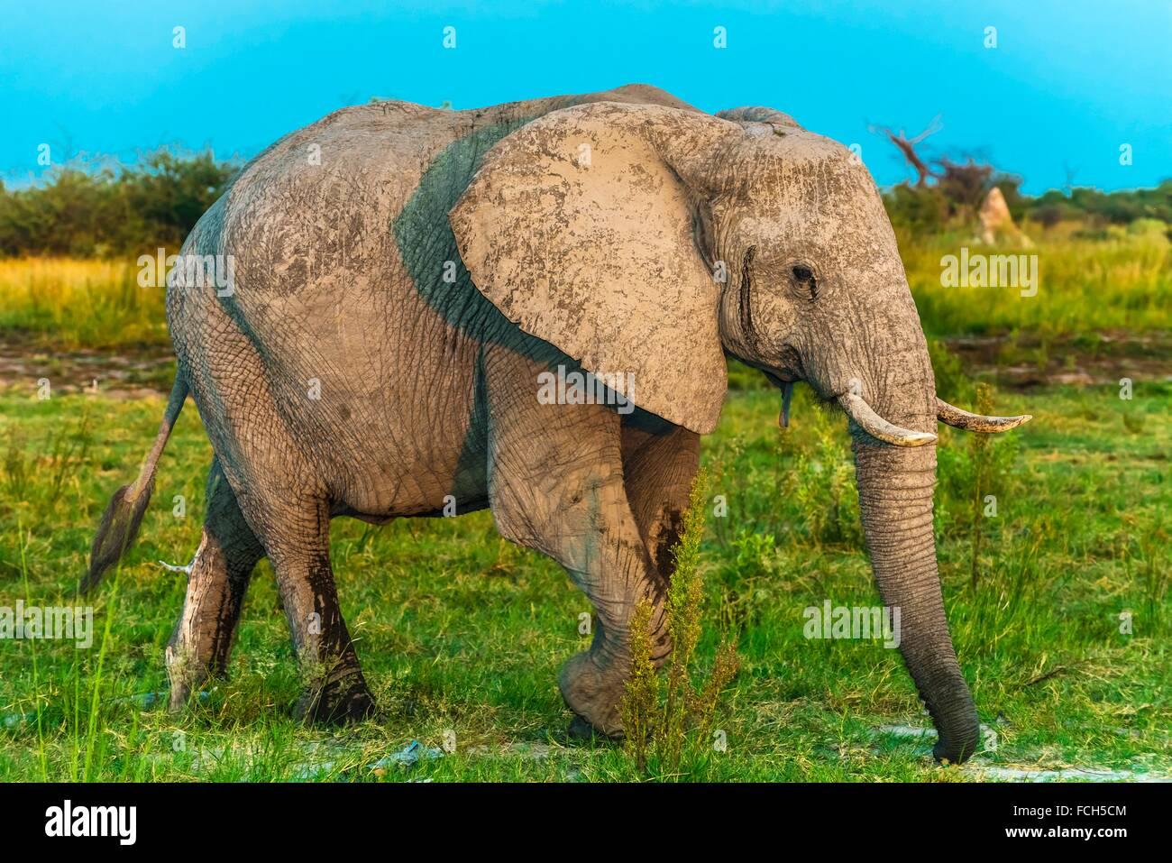 Baby elephant, Kwando Concession, Linyanti Marshes, Botswana. Stock Photo