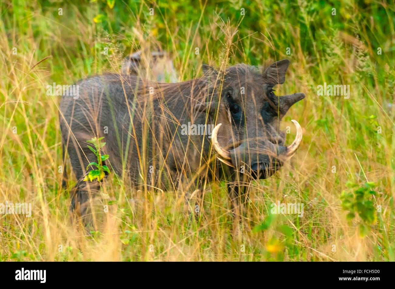 Warthogs, Kwando Concession, Linyanti Marshes, Botswana. Stock Photo