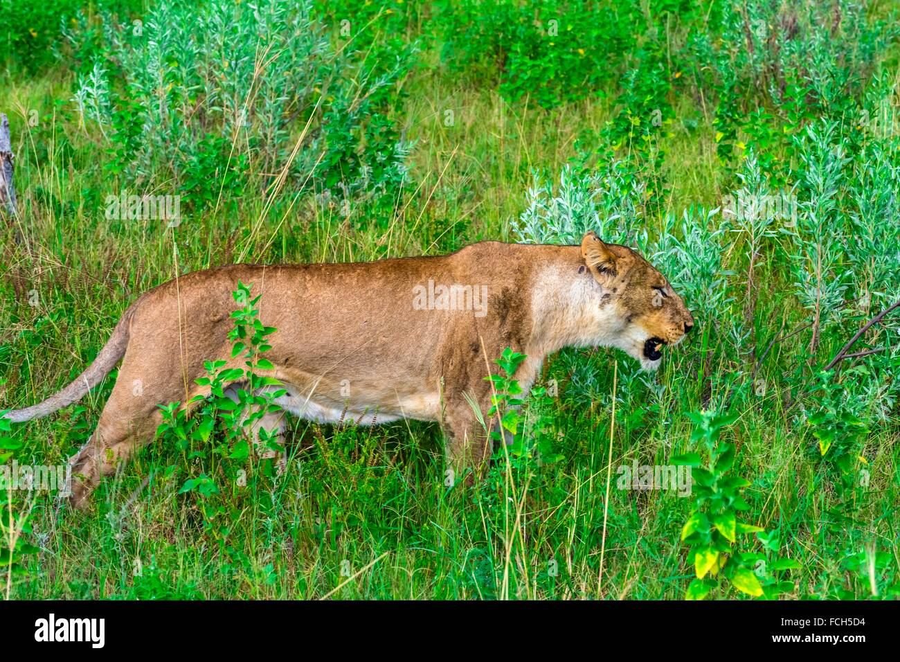 Female lion, Kwando Concession, Linyanti Marshes, Botswana. Stock Photo