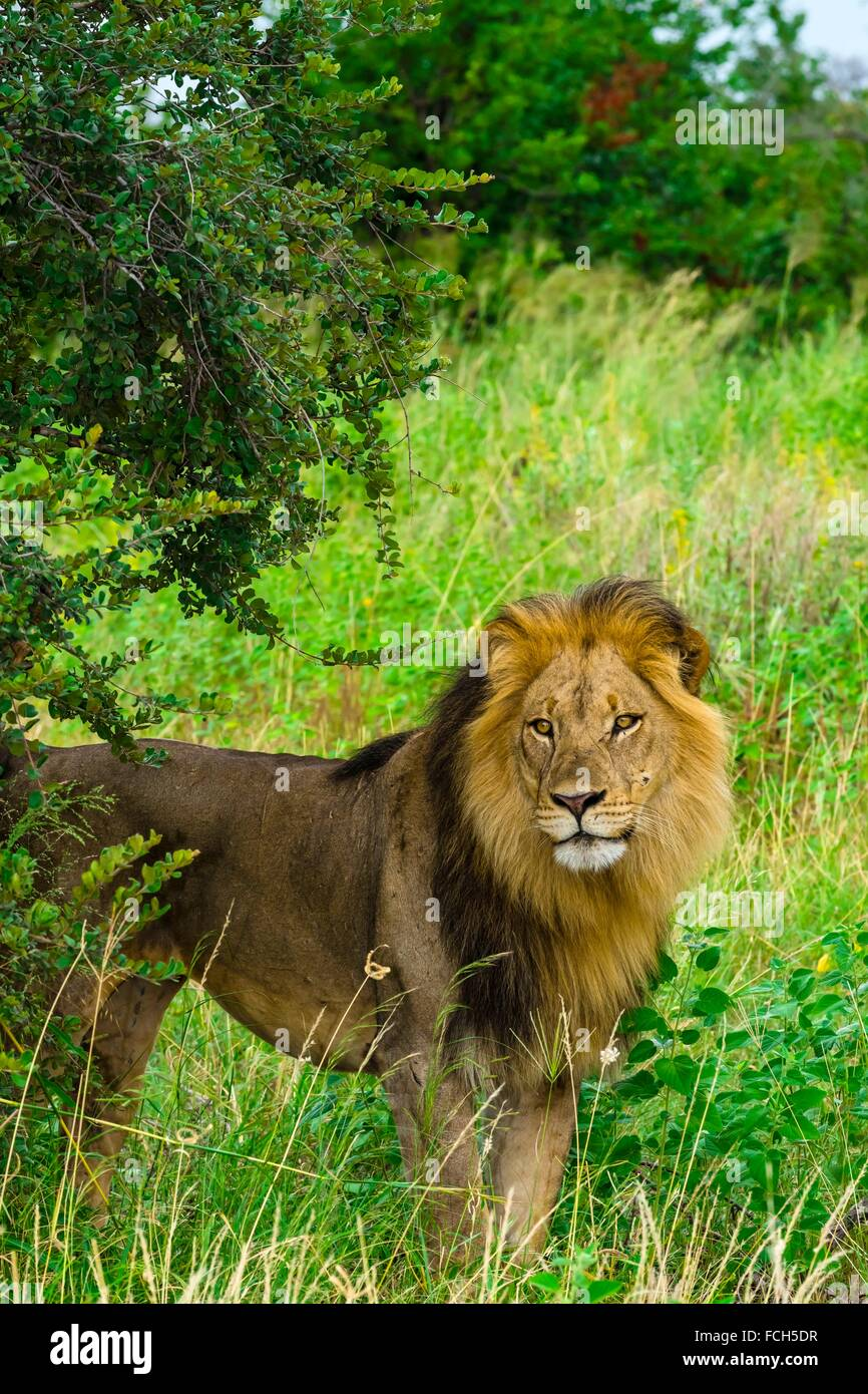 A male lion in the Linyanti Marshes, Kwando Concession, Botswana. Stock Photo