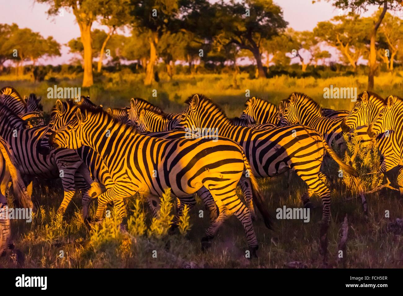 Herd of zebras, Kwando Concession, Linyanti Marshes, Botswana. Stock Photo