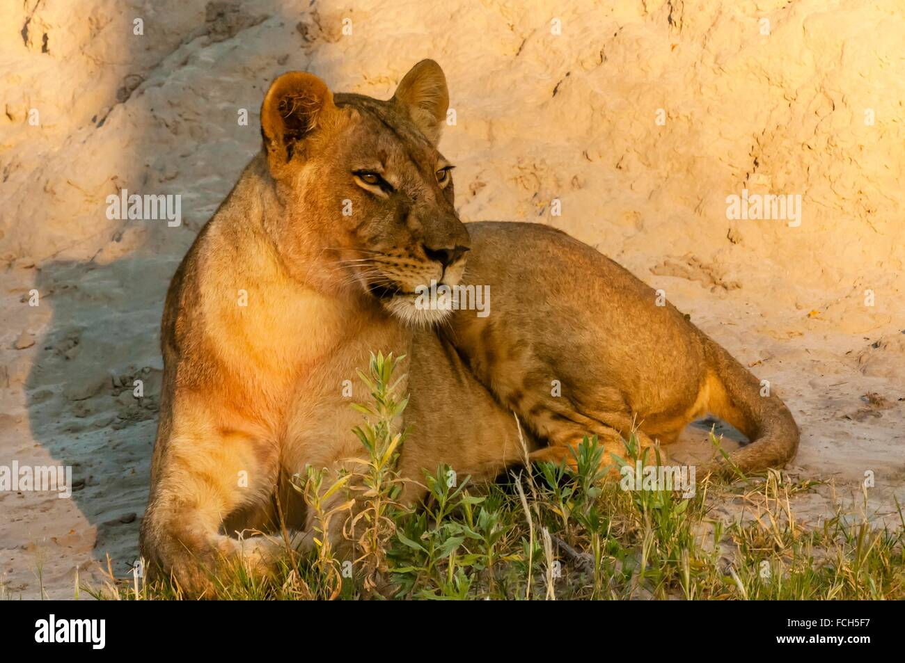 Lioness, Kwando Concession, Linyanti Marshes, Botswana. Stock Photo