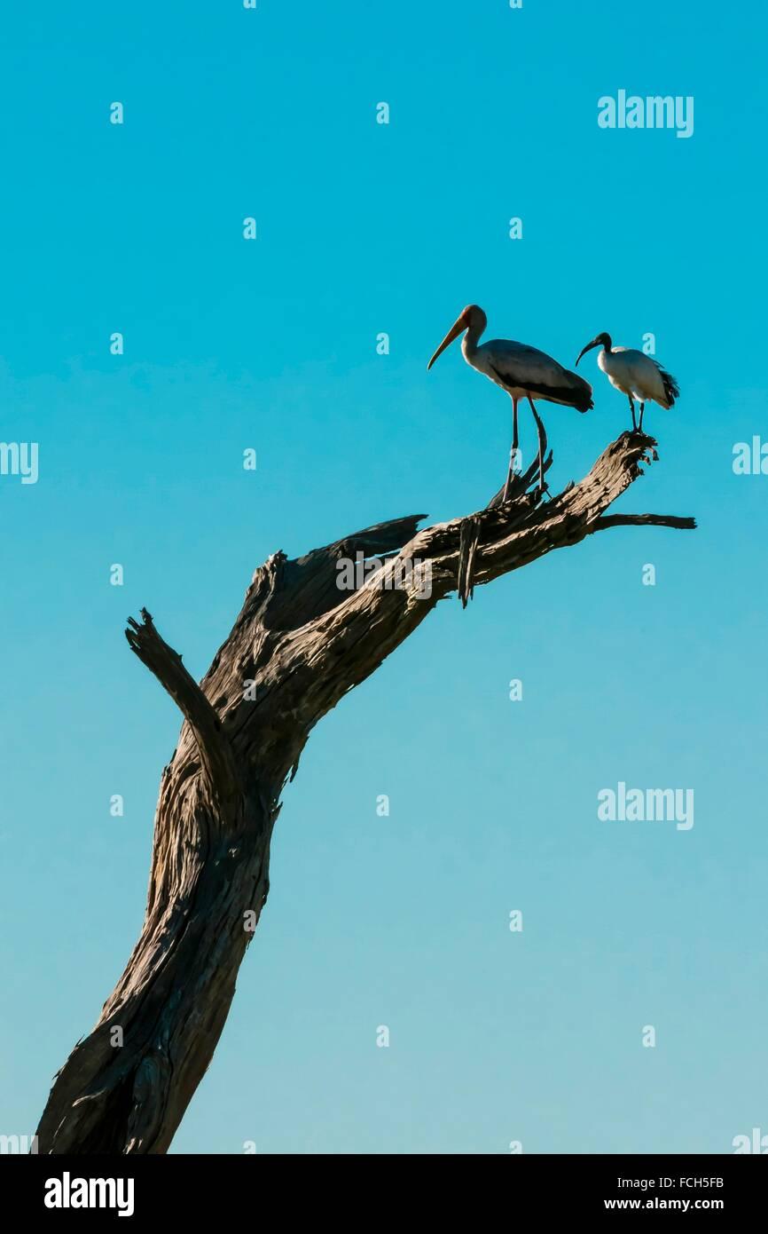 Birds, Kwando Concession, Linyanti Marshes, Botswana. Stock Photo