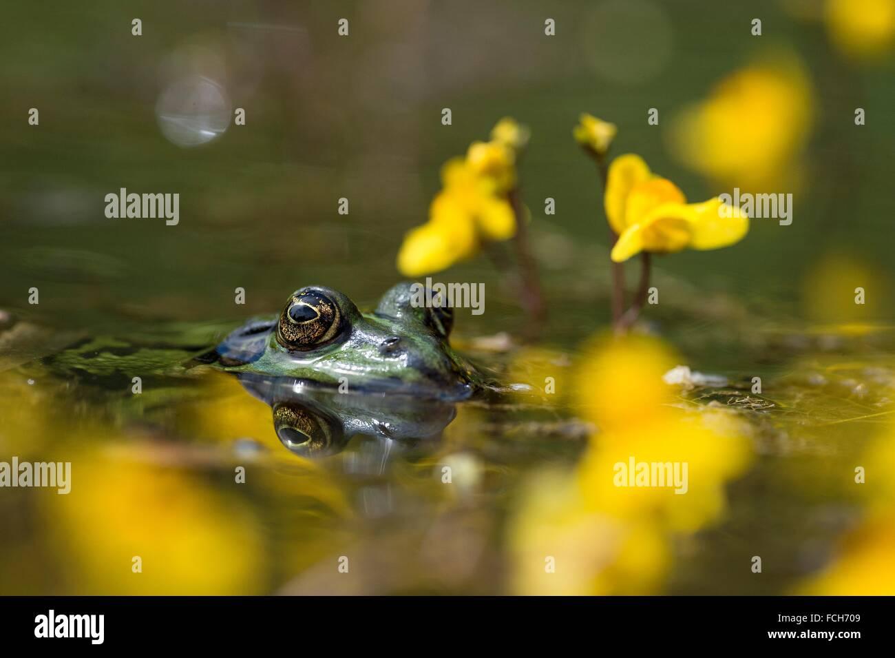 Edible frob (Rana esculenta), between blossoms of water hose (Utricularia vulgaris), Bavaria, Germany. - Stock Image