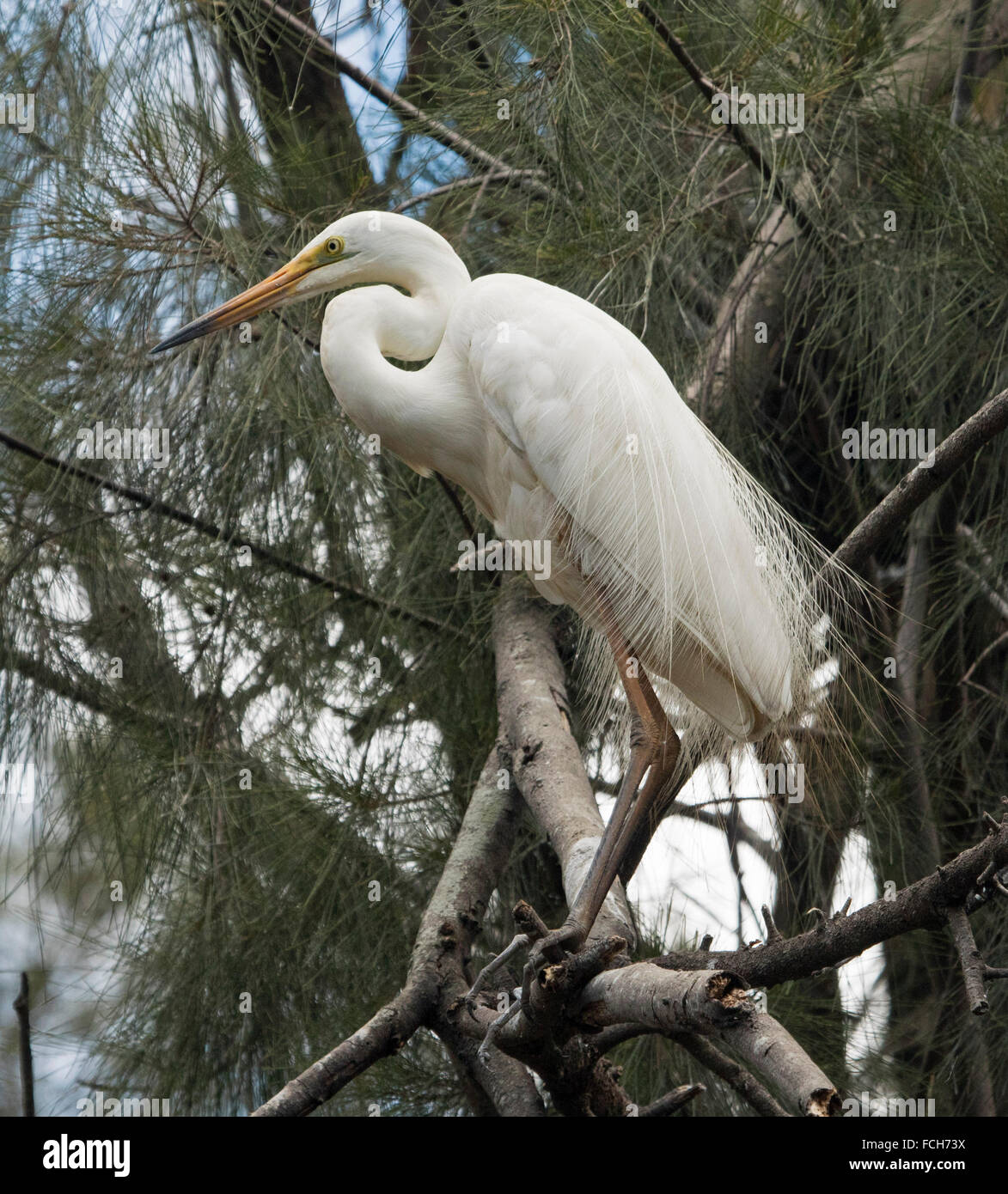 Beautiful plumed / intermediate egret Ardea intermedia with lacy white breeding plumage on branch with background - Stock Image