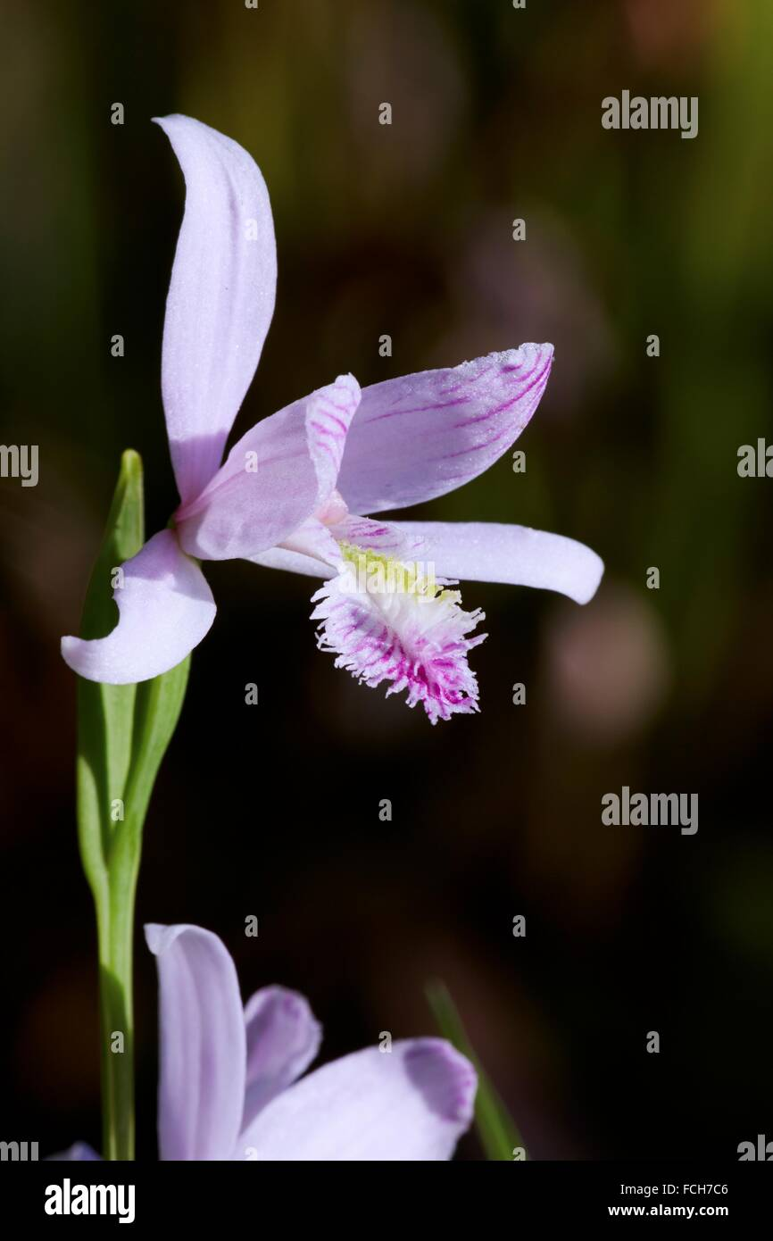Rose Pogonia Pogonia ophioglossoides in bloom. The Pogonie belongs to the orchid family - Endemic in eastern North America.. Stock Photo