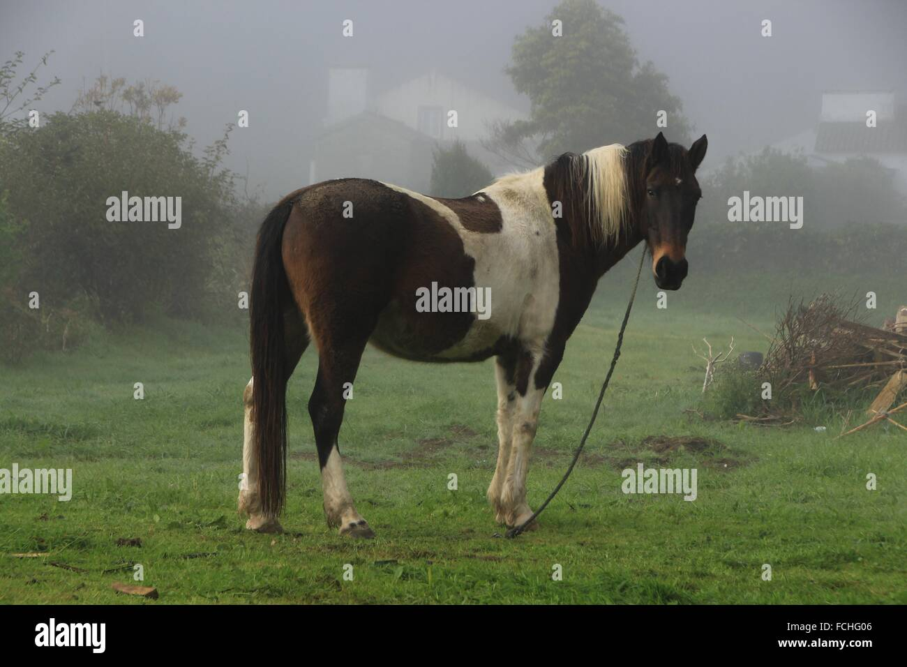 a horse in a misty morning in sete cidades sao miguel island stock