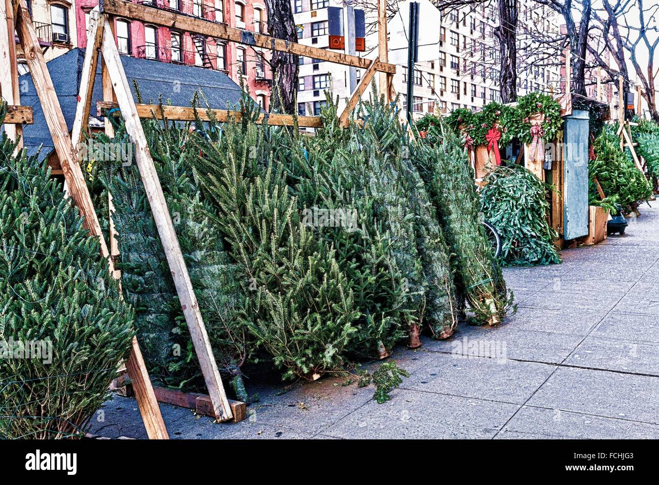 Christmas Trees Lined up for Sale on a New York City Sidewalk. A yearly ritual. - Stock Image