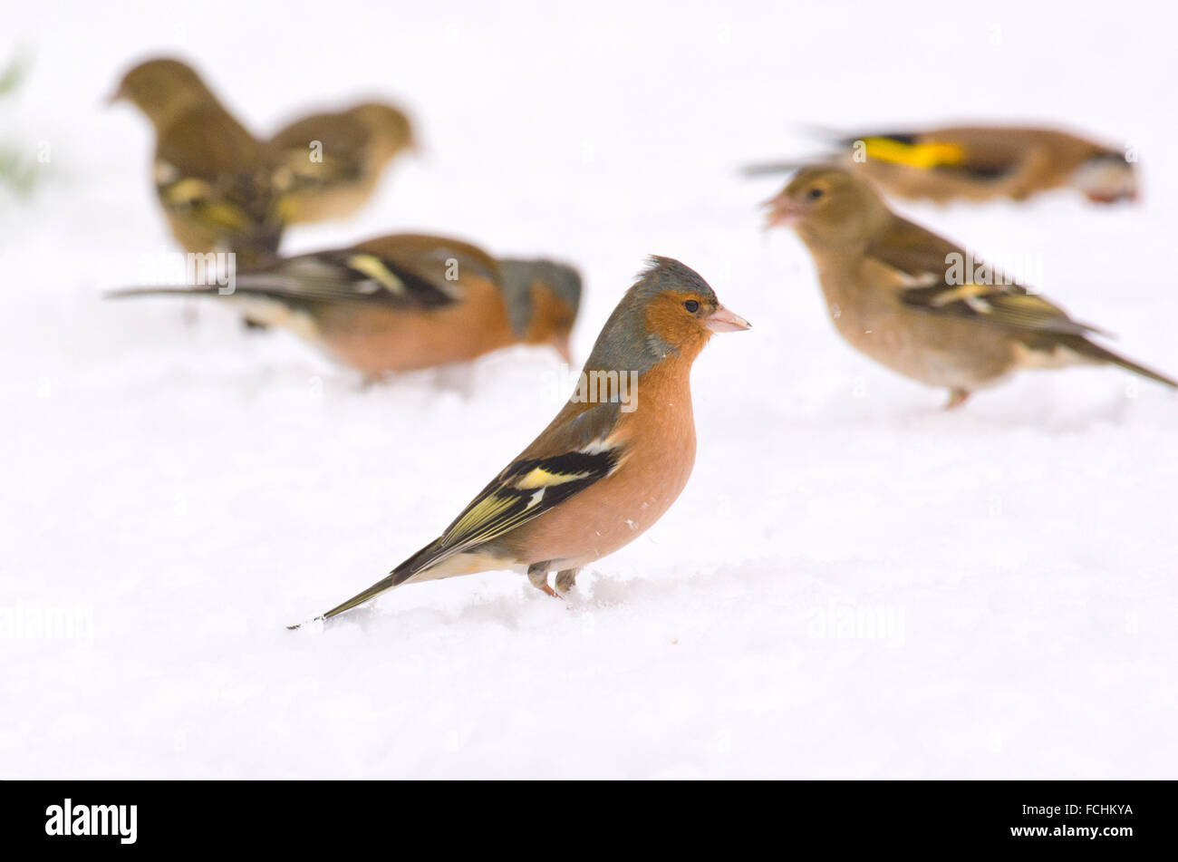 Finches foraging - Stock Image
