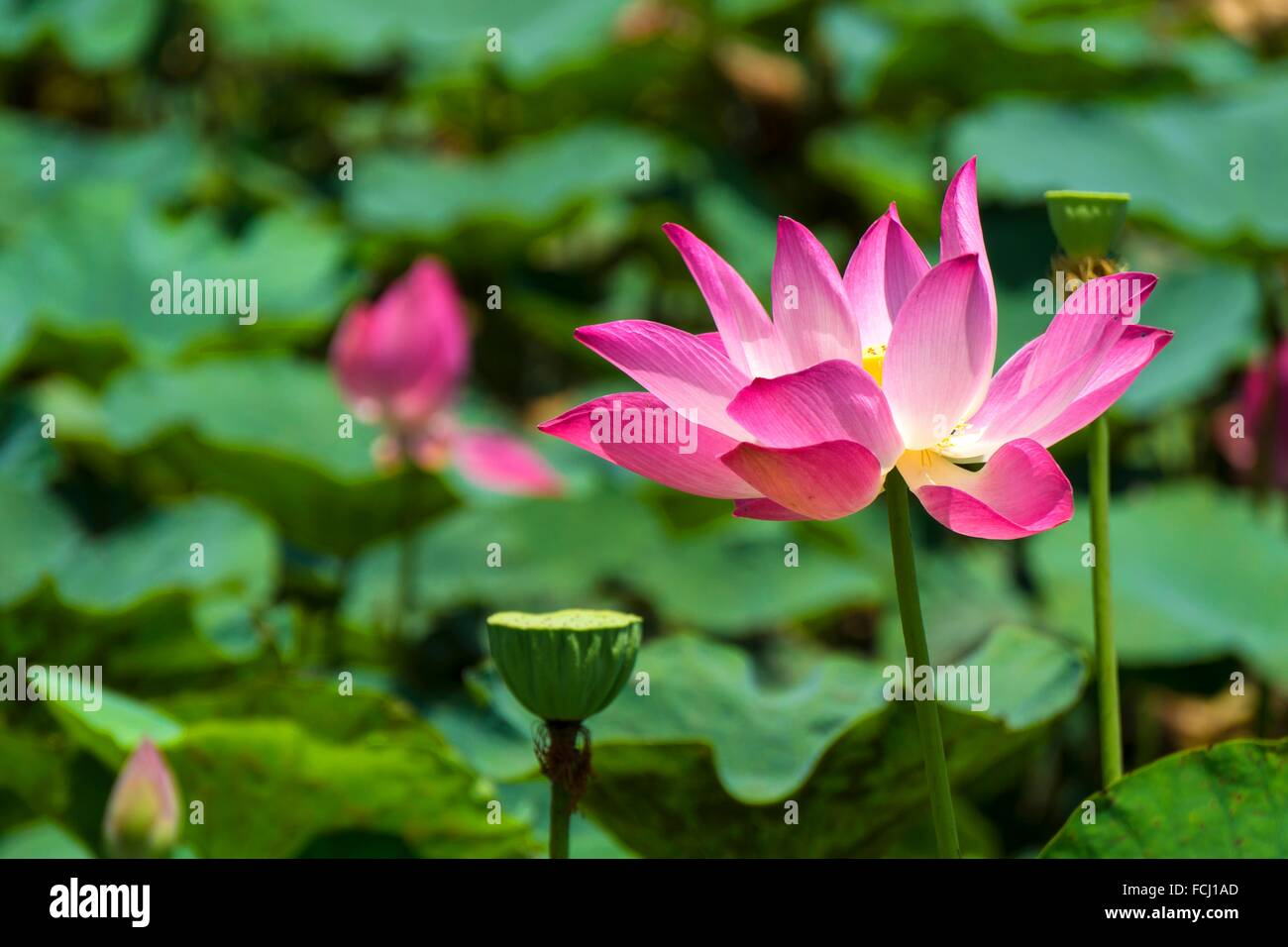 Red Lotus Flower Stock Photos Red Lotus Flower Stock Images Alamy