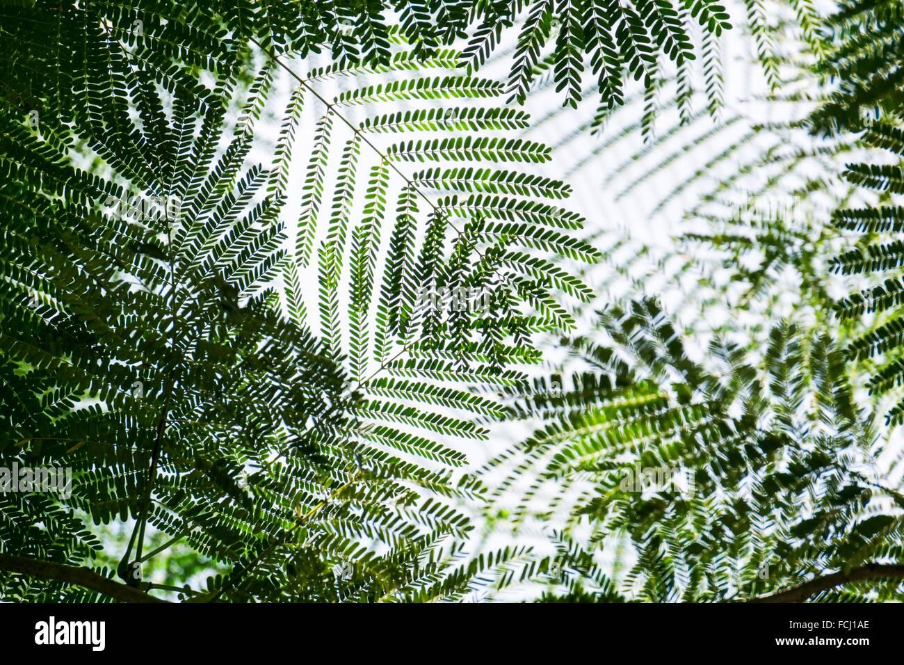 Shooting backlit hairy leaves at Semengoh Wildlife Centre, Kuching, Sarawak, Malaysia. Stock Photo