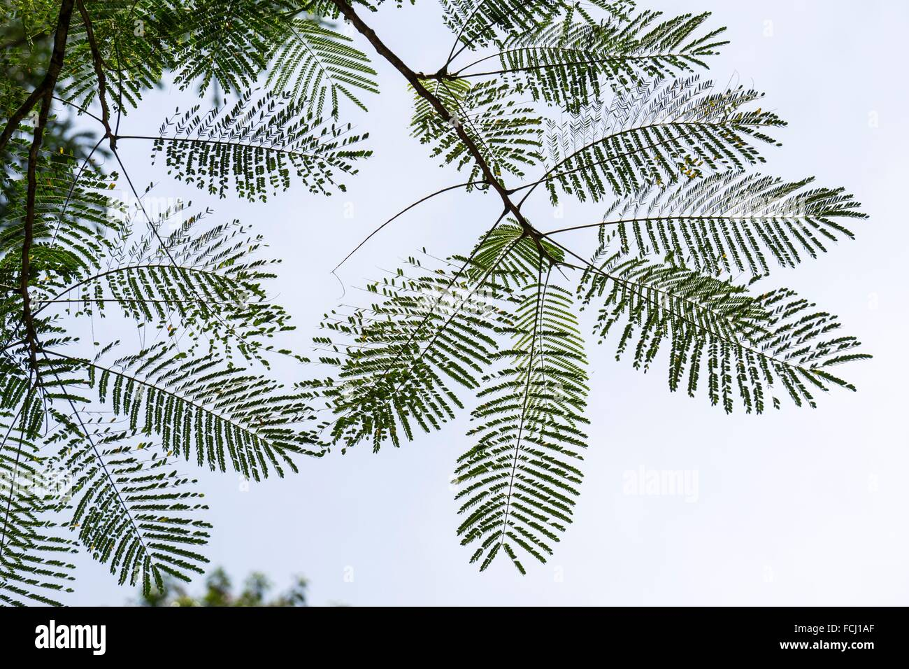 Shooting backlit hairy leaves at Semengoh Wildlife Centre, Kuching, Sarawak, Malaysia. - Stock Image