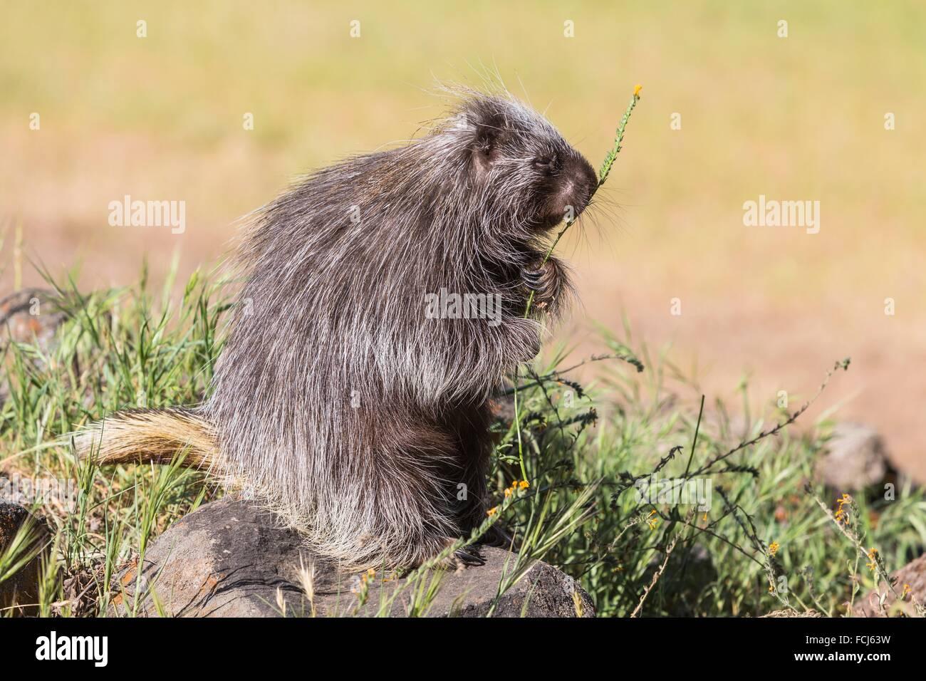 Cute porcupine (Erethizon dorsatum) feeding on some flowers, captive, California, USA Stock Photo