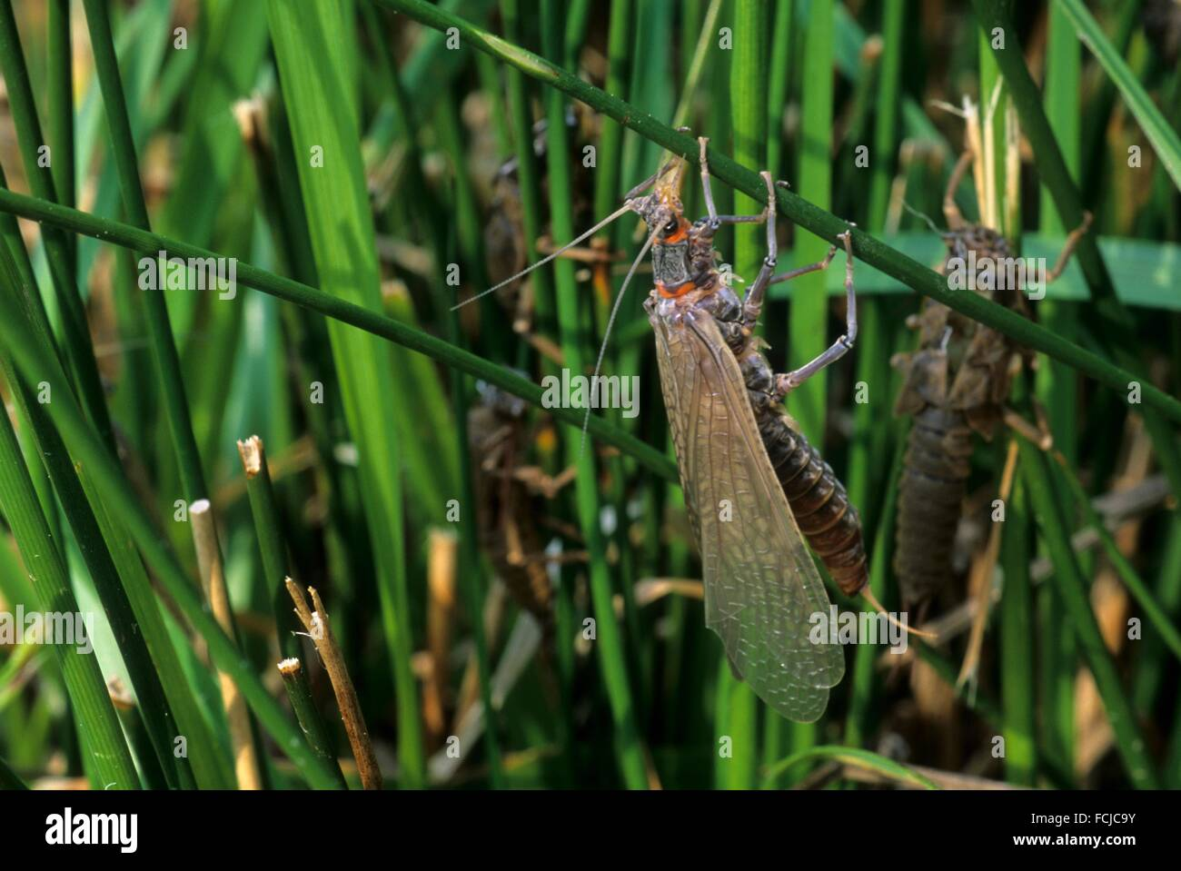 Salmonfly hatching, Casey State Park, Rogue-Umpqua National Scenic Byway, Oregon. - Stock Image