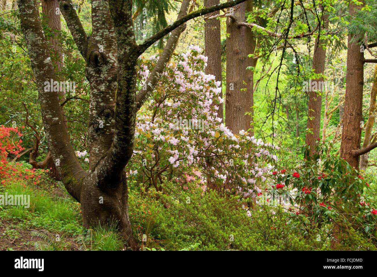 Rhododendron in bloom in forest, The Rhododendron Garden, Hendricks ...