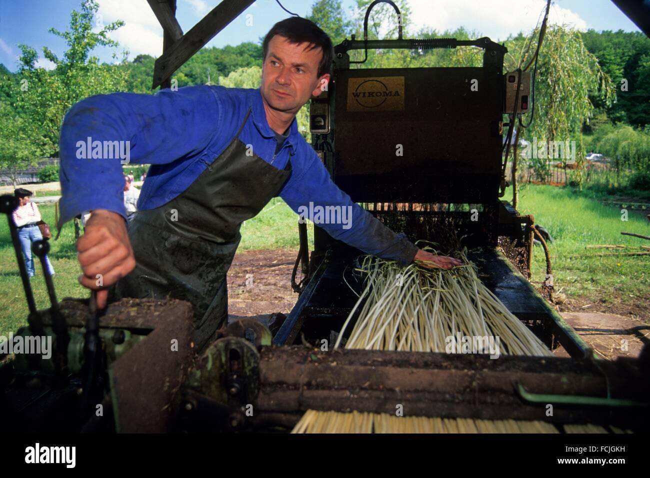 mechanical barking of willow stems, Villaines-les-Rochers, Indre-et-Loire department, Centre region, France, Europe. - Stock Image