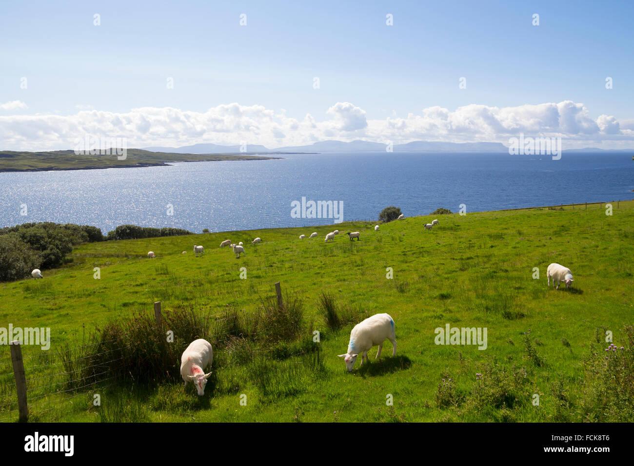 Herd of sheep in the green coast of Ireland - Stock Image
