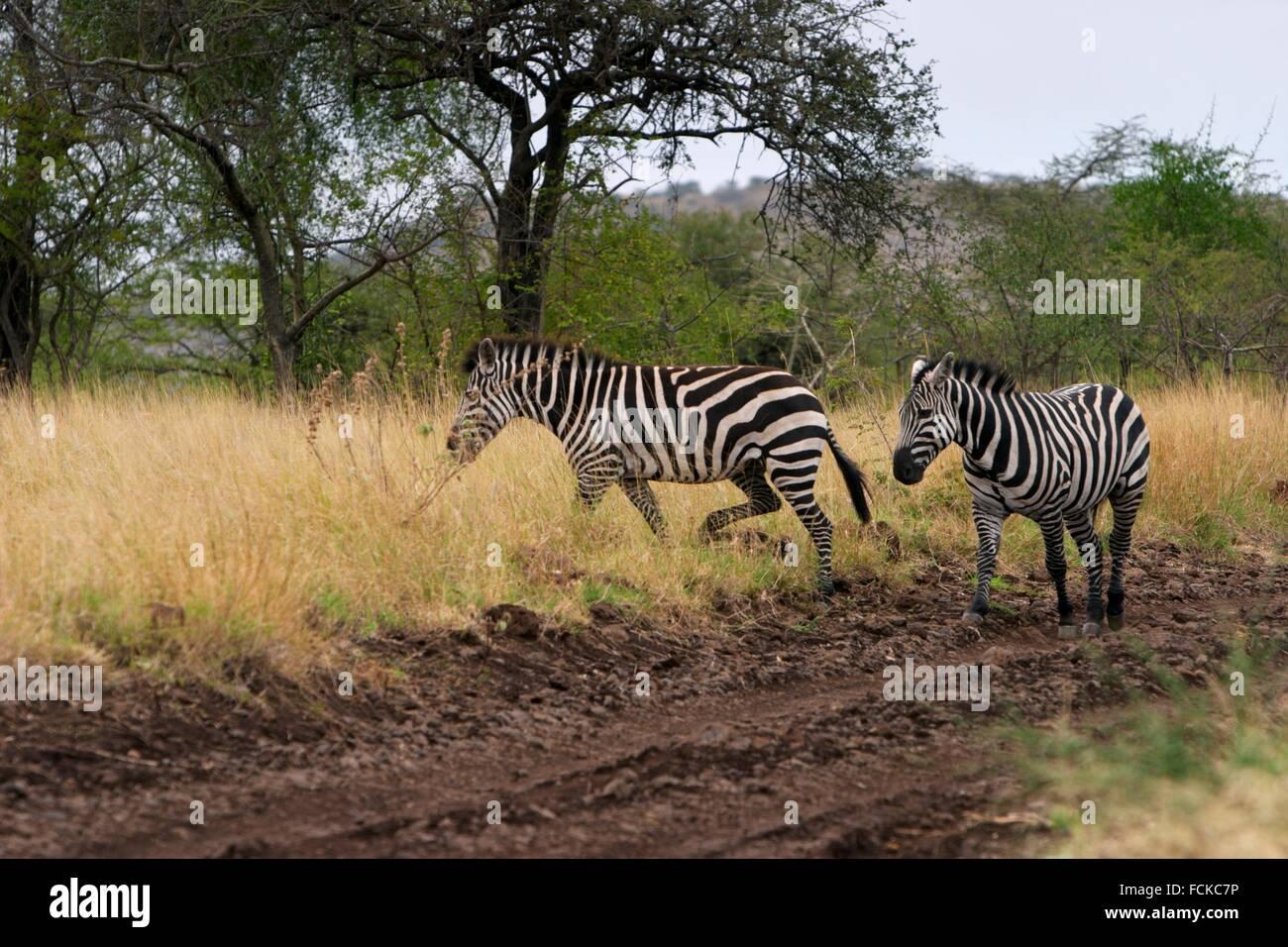 Zebras crossing the track in the Nechisar Park, Arbaminch, Africa Stock Photo
