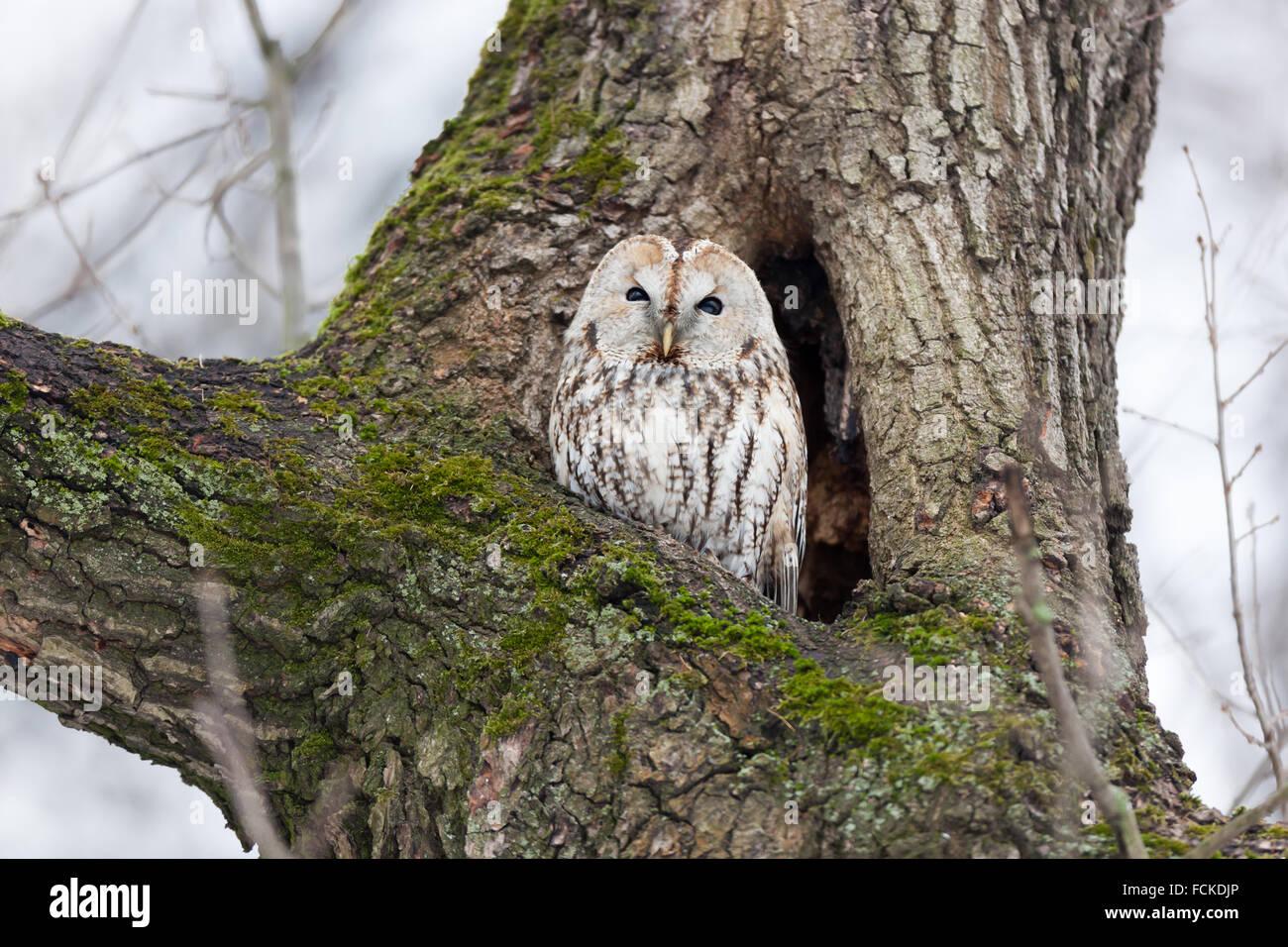 Tawny Owl (Strix aluco). Moscow. Russia. - Stock Image