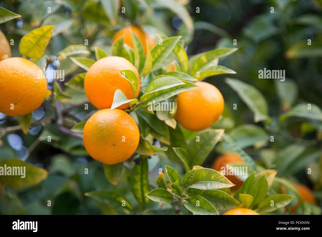 Oranges on the tree. Stock Photo