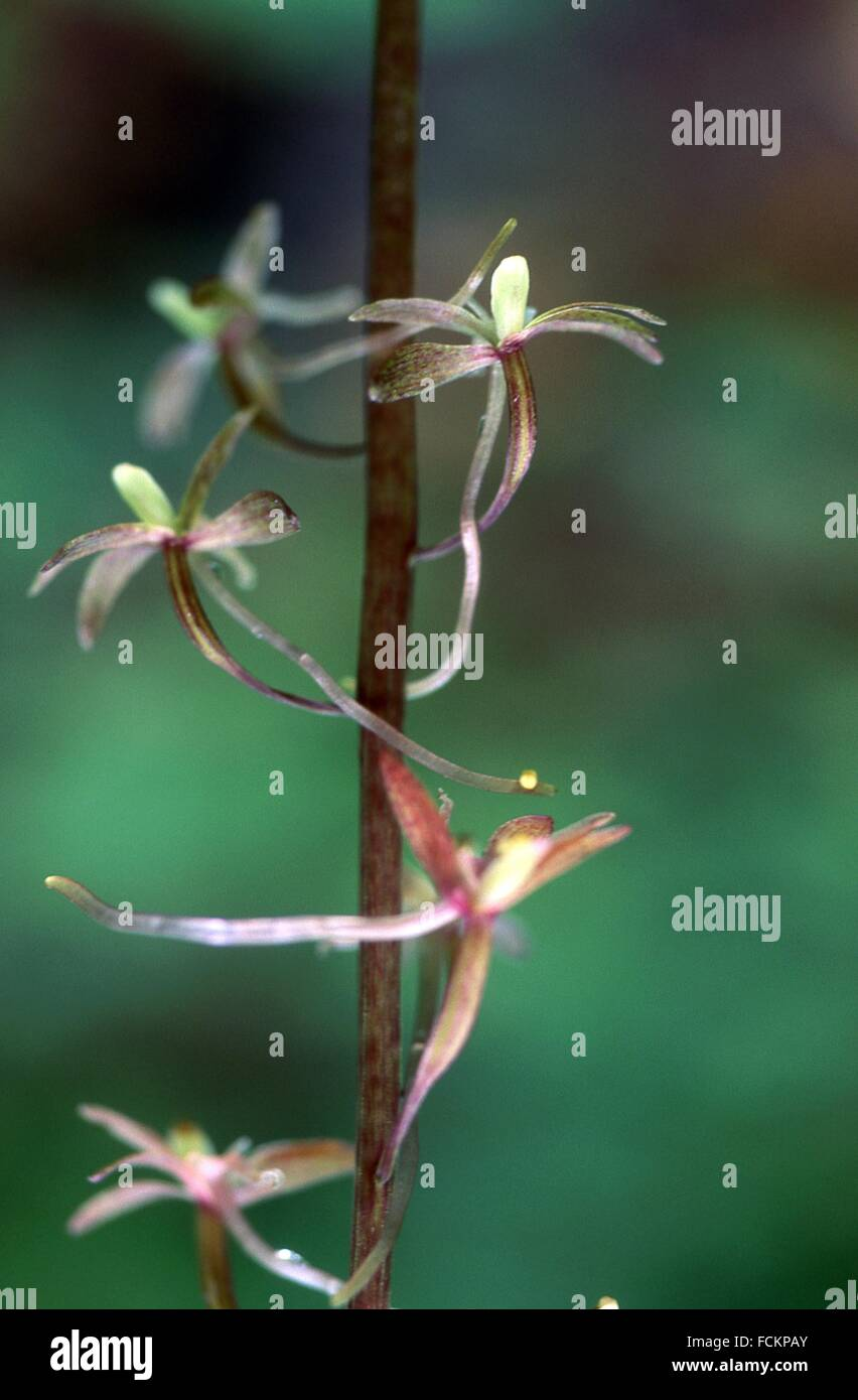 Crippled Cranefly has a scientific name of Tipularia discolor. - Stock Image