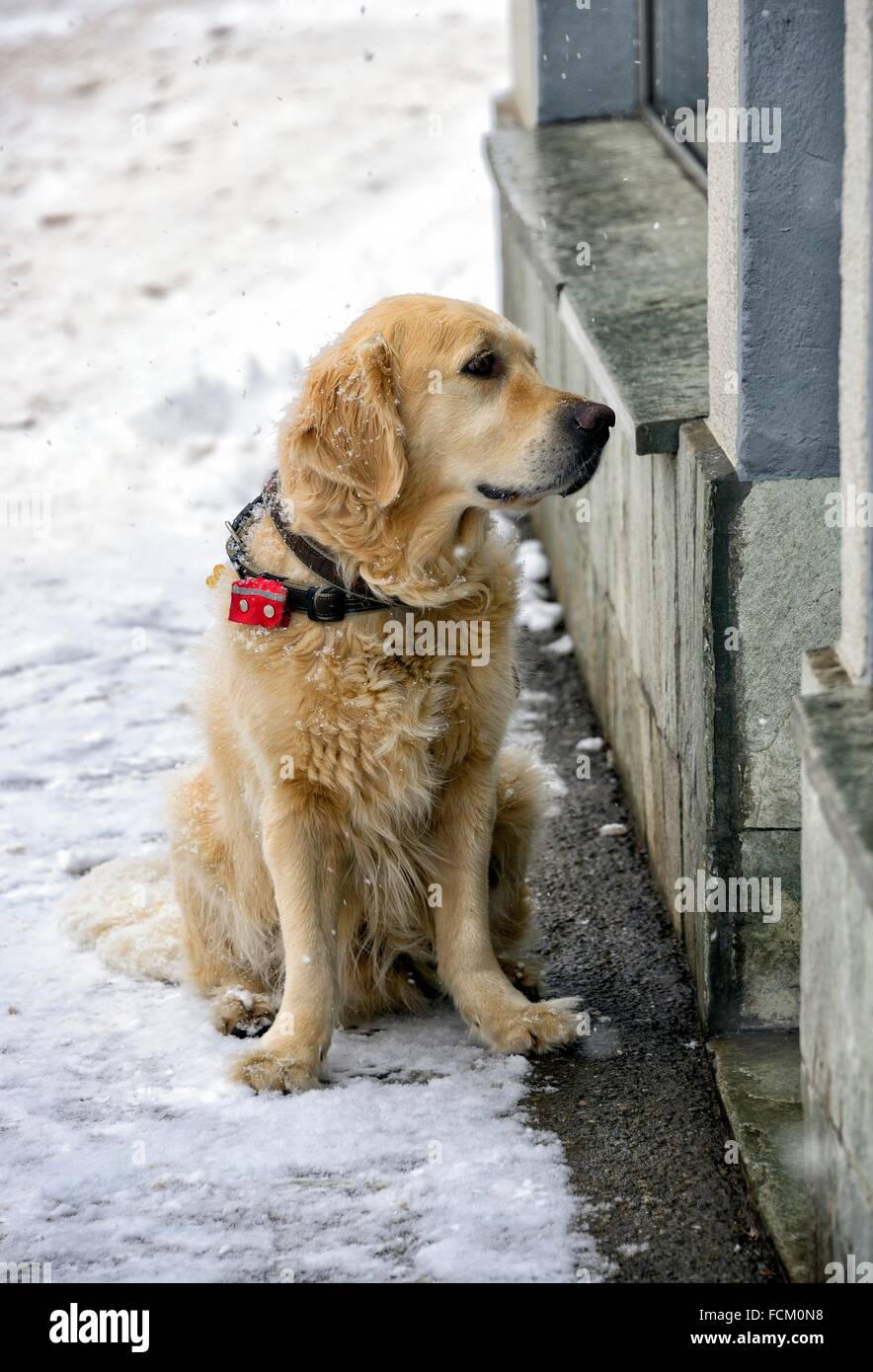 dog awaiting in front of shop in winter, Saas-Fee, Valais, Switzerland. - Stock Image