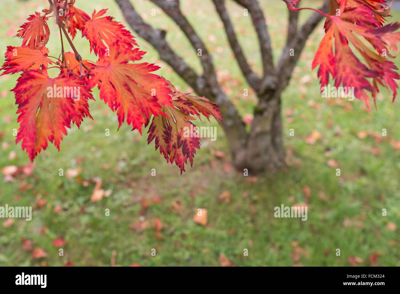 Red foliage of a japanese maple tree (Acer palmatum) in fall Stock Photo