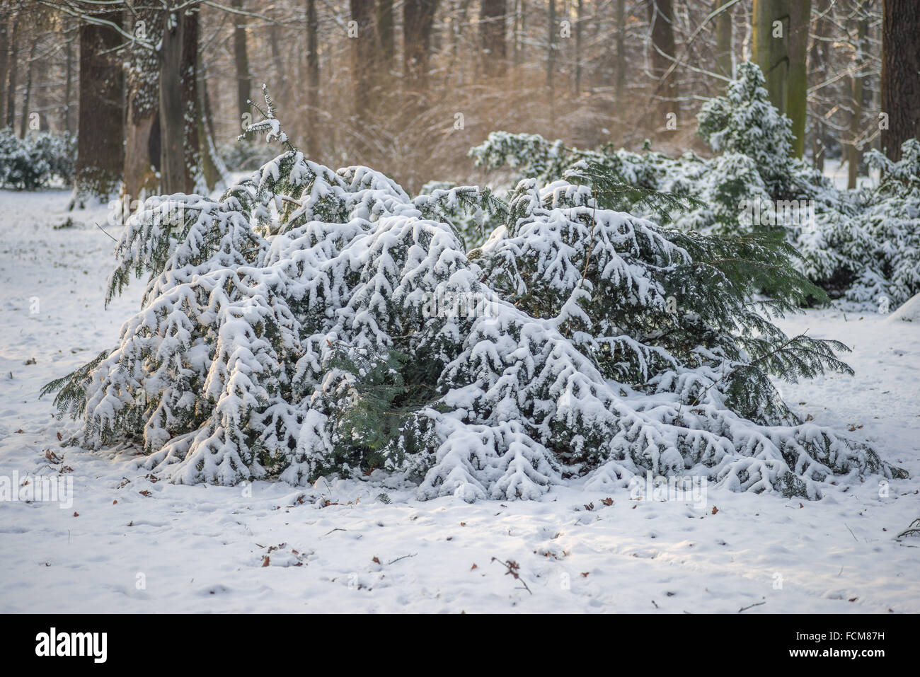 Young yew trees after snowfall - Stock Image