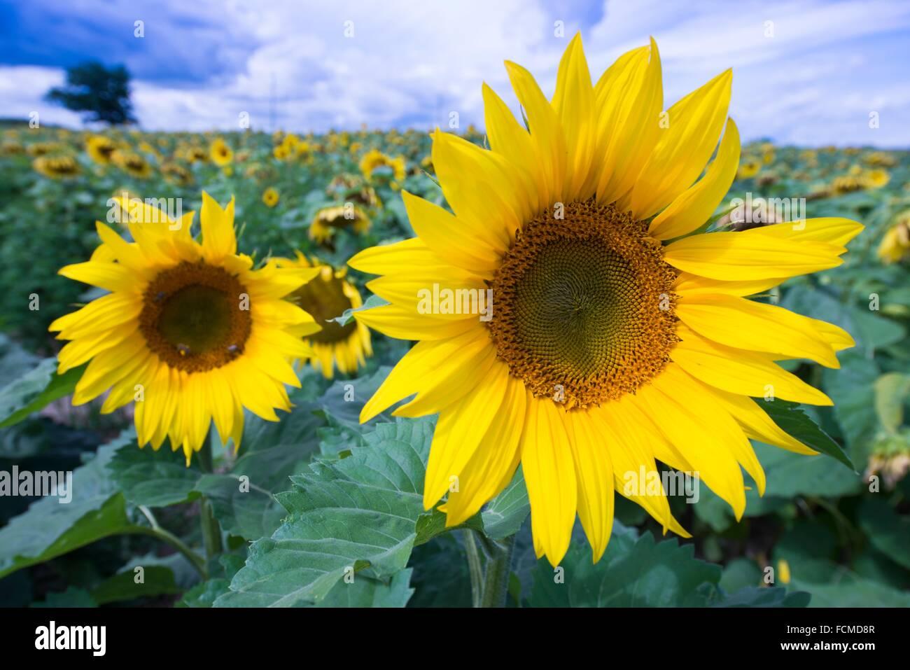 Sunflowers, Prince Edward County, Ontario, Canada - Stock Image